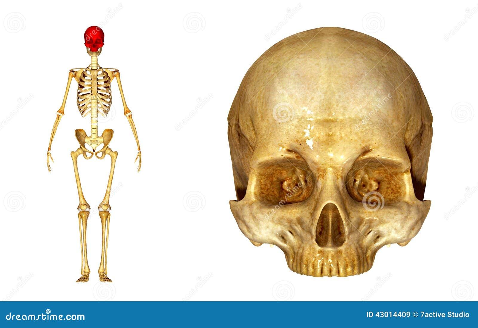 Oberer Schädel stockbild. Bild von frontseite, gesundheit - 43014409