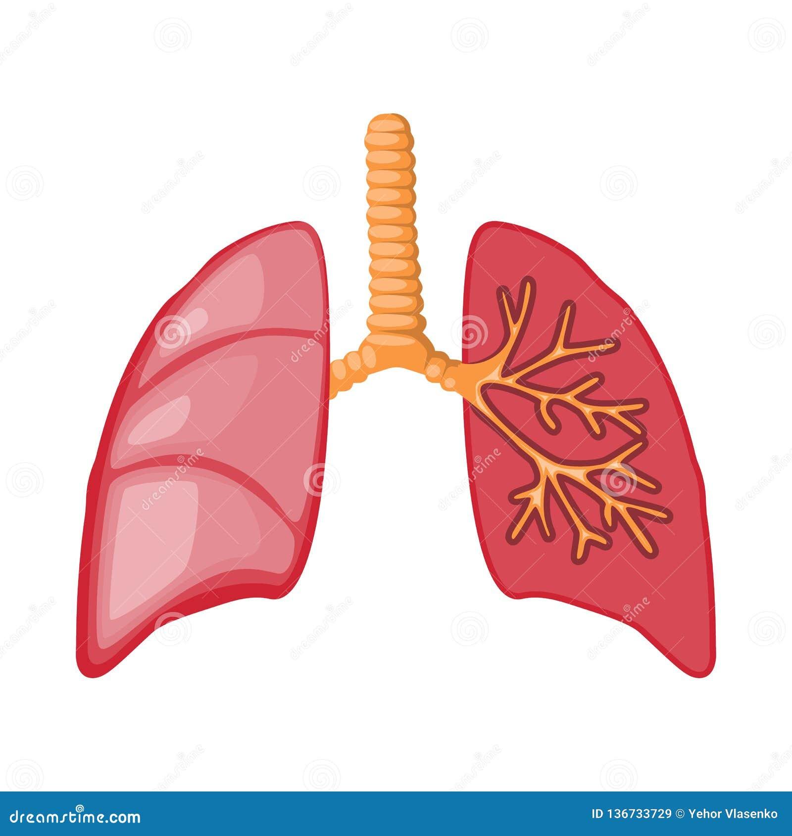 Objeto aislado del icono de la anatomía y del órgano Fije de la anatomía y del icono médico del vector para la acción