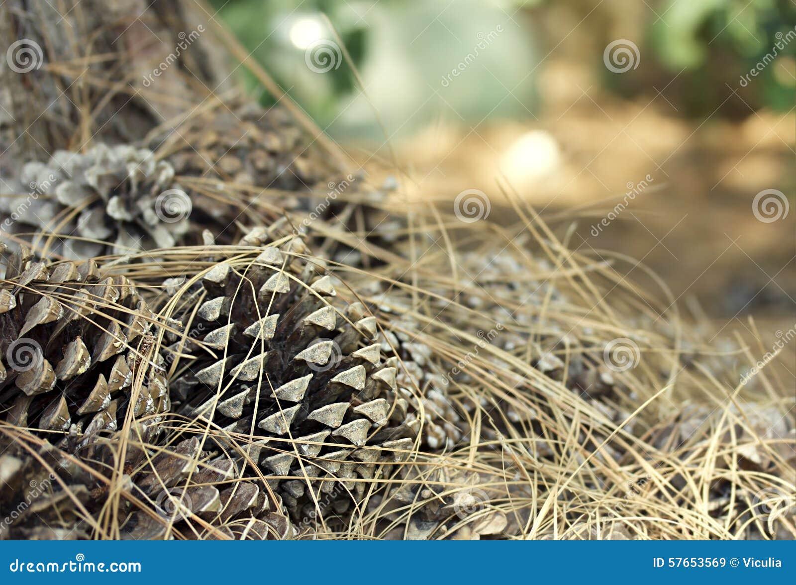 Objeto del pino Cones