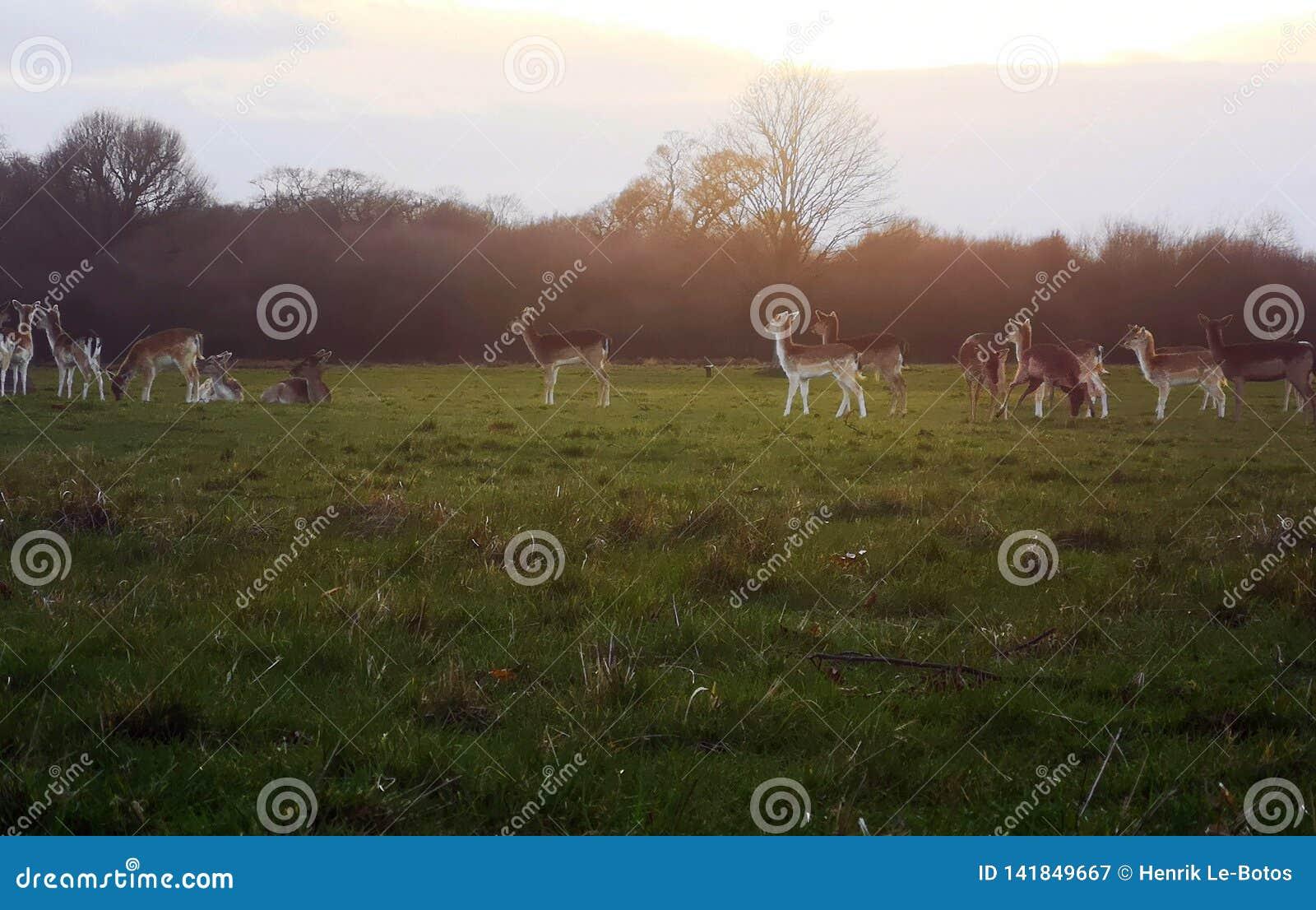 Observação de Richmond Park Deer