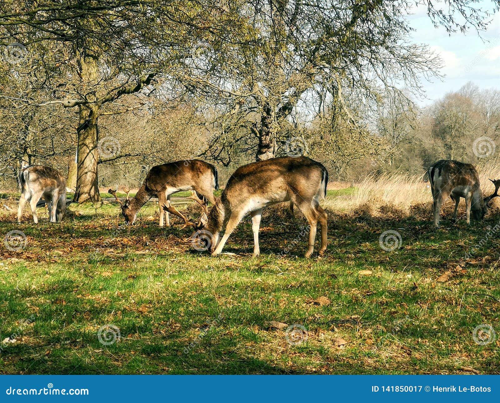 Observação dos cervos no por do sol em Richmond Park, Londres