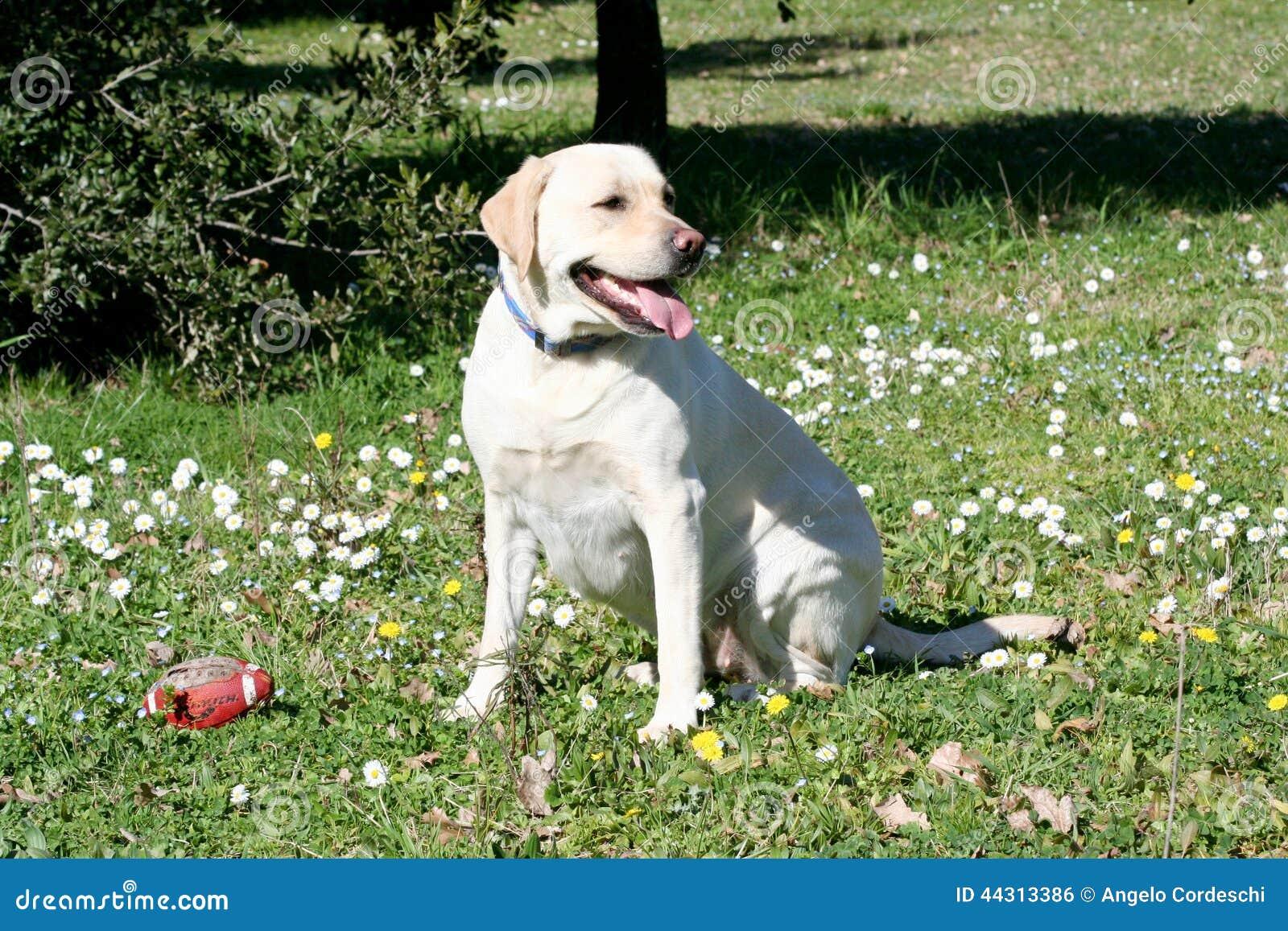 Observation de chien de Labrador