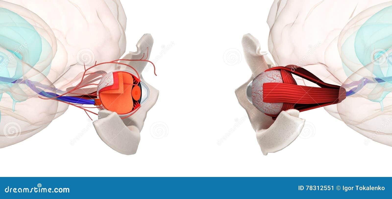 Observe La Anatomía Y Estructura, Los Músculos, Los Nervios Y Los ...