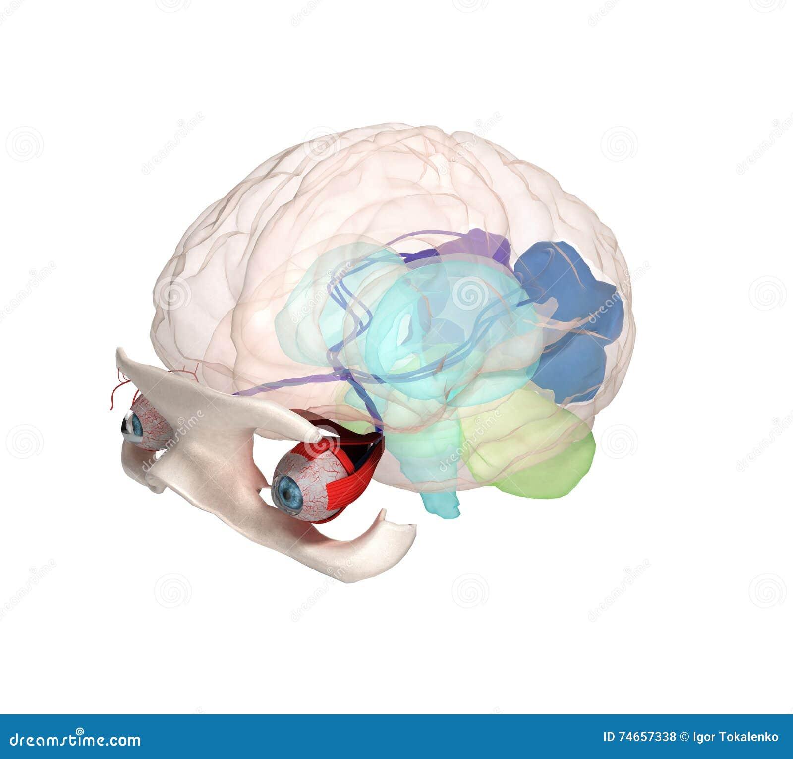 Observez L\'anatomie Et La Structure, Les Muscles, Les Nerfs Et Les ...