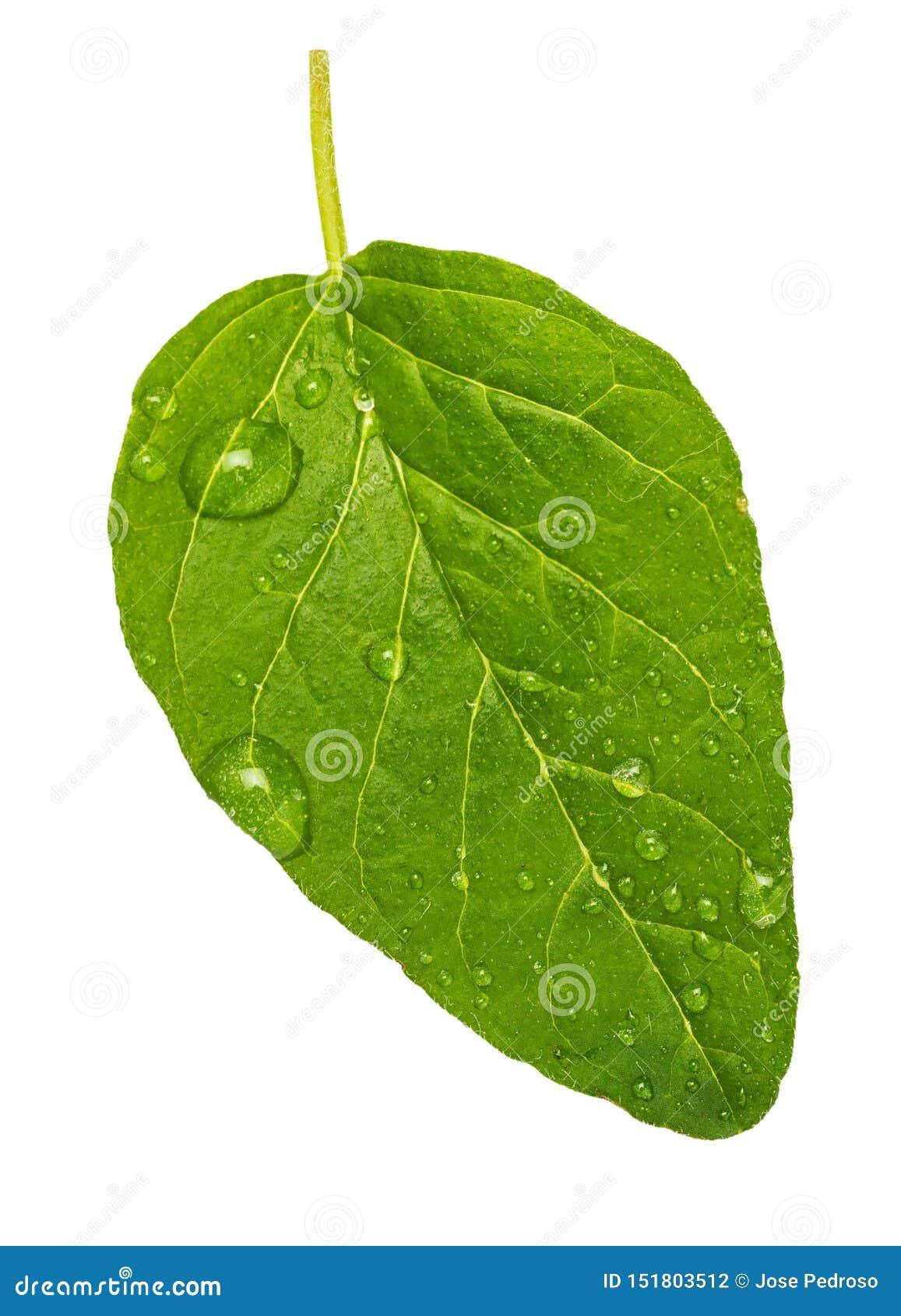 Obvers groen en vers blad van oregokruid Met micro- dalingen van water