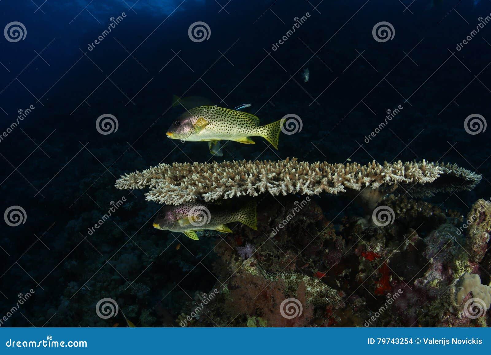 Océano del mar de Indonesia del salto subacuático coralino de la vida que se zambulle