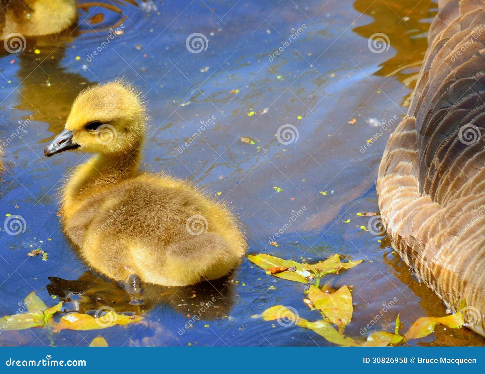 Oca Gosling del Canada