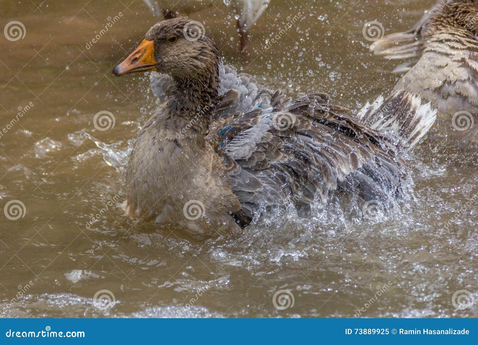 Oca selvatica che si pavoneggia e che spruzza nell acqua