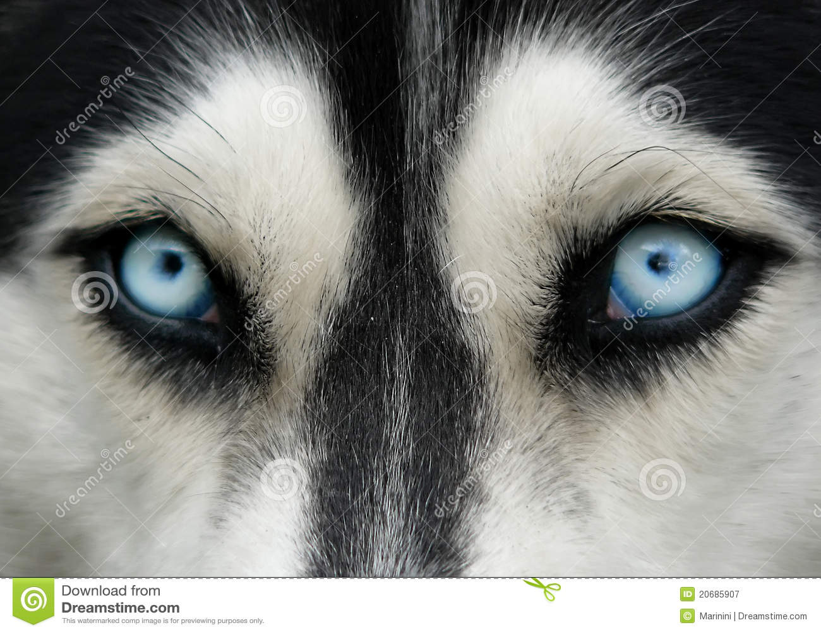 Occhi azzurri del cane fotografia stock libera da diritti - Cane occhi azzurri ...