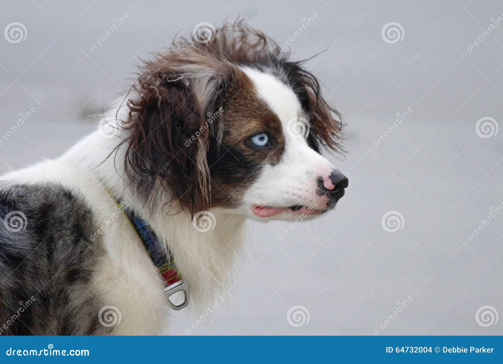 Occhi del cane del blu