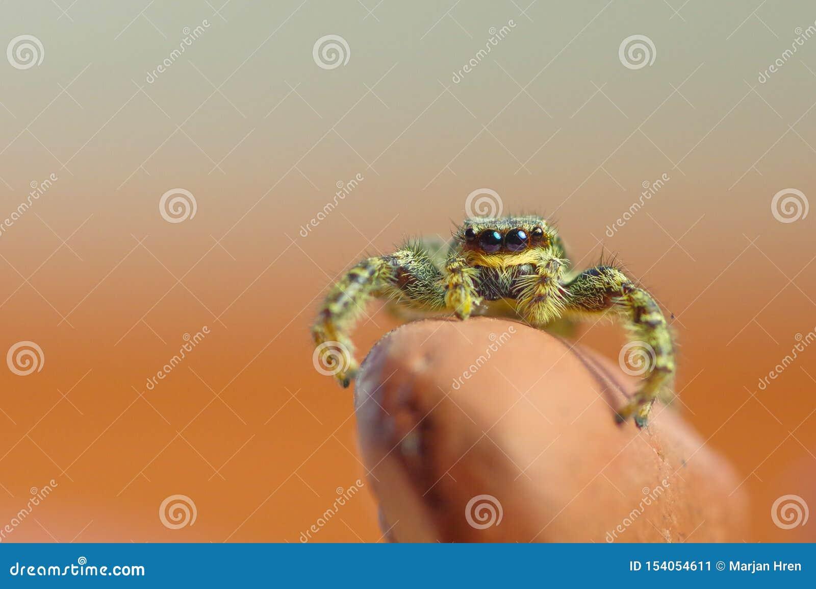 Occhi del saltatore del ragno