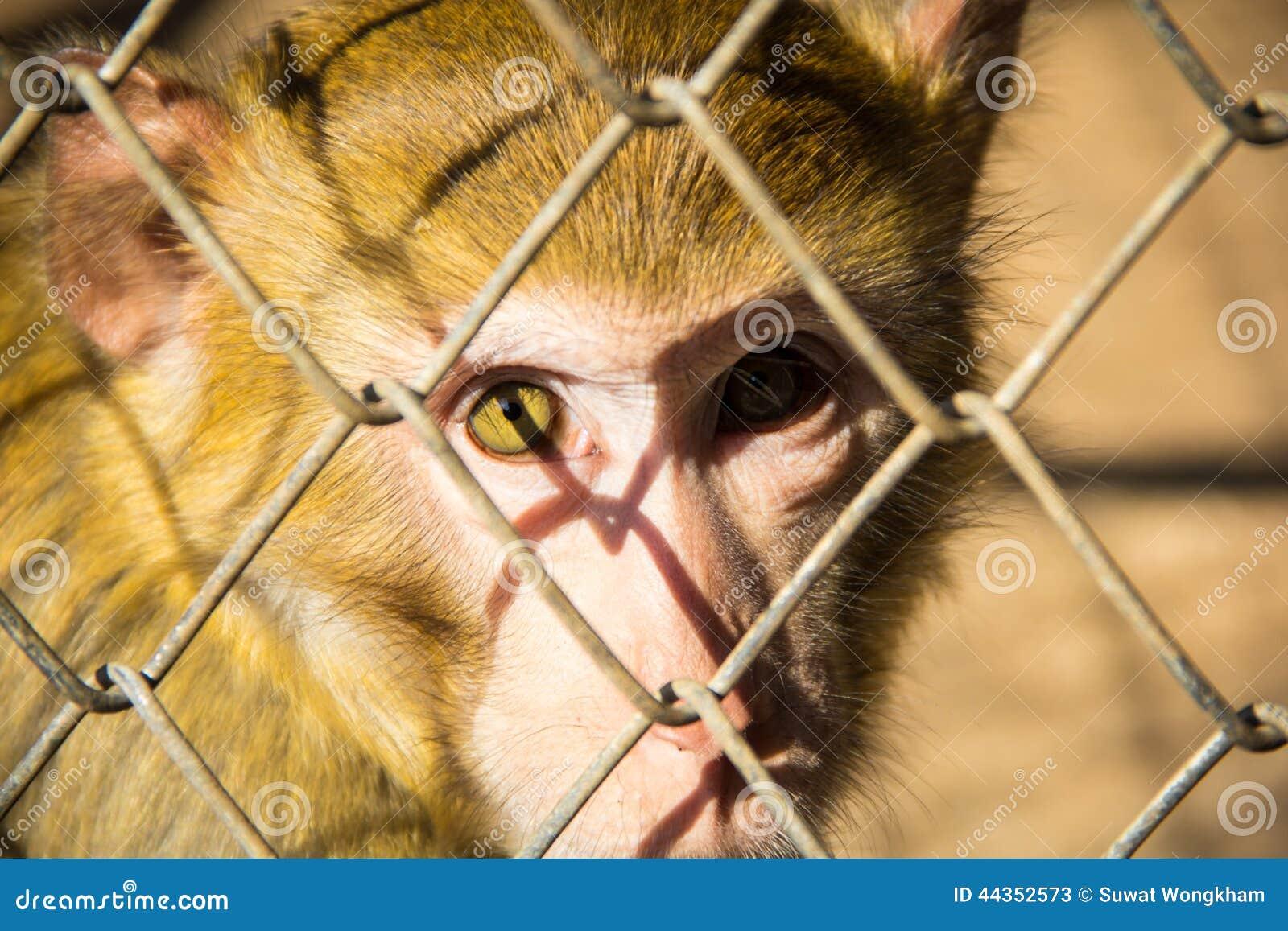 Occhi della scimmia
