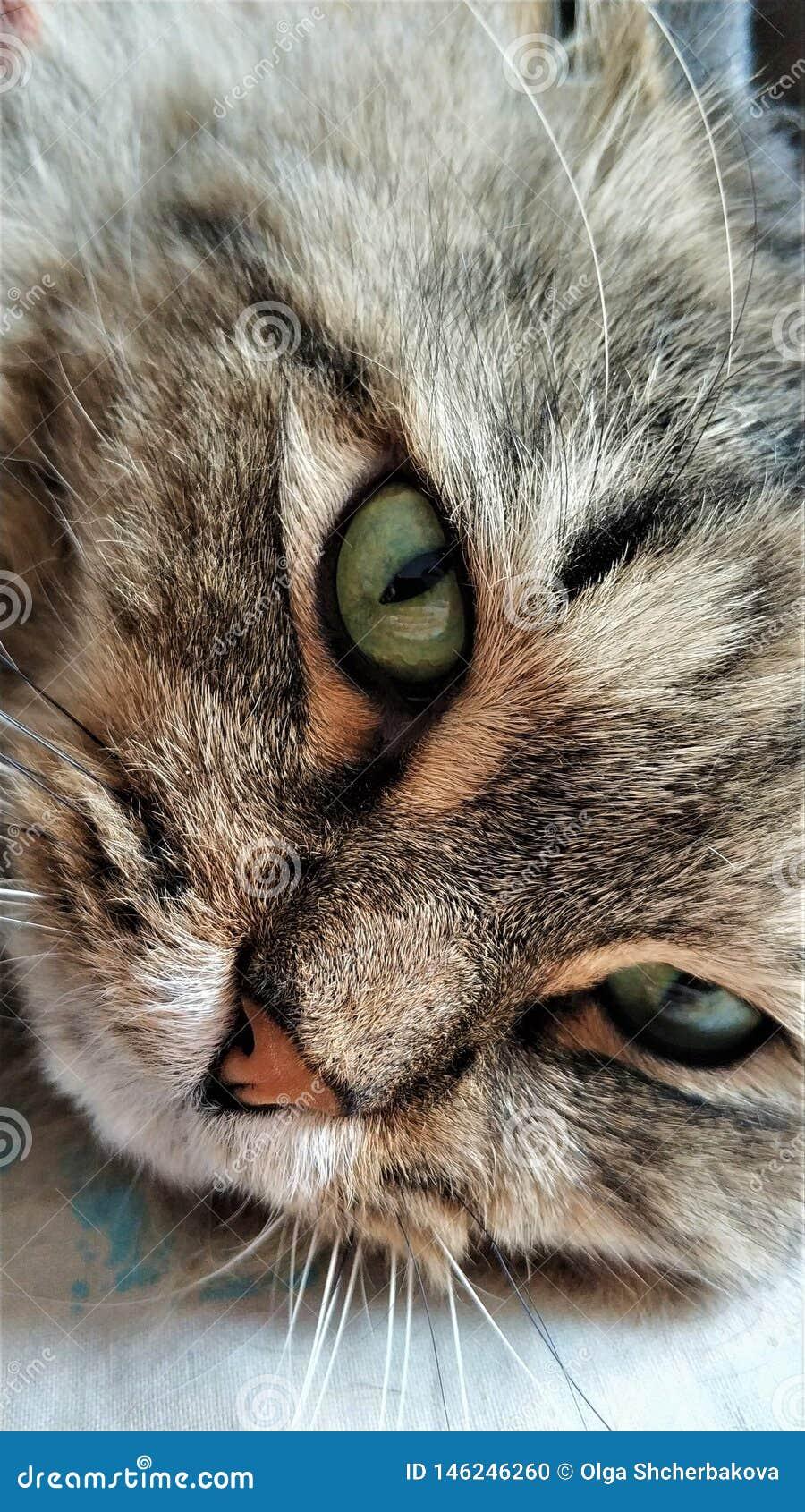 Occhi verdi di un gatto della fine siberiana su
