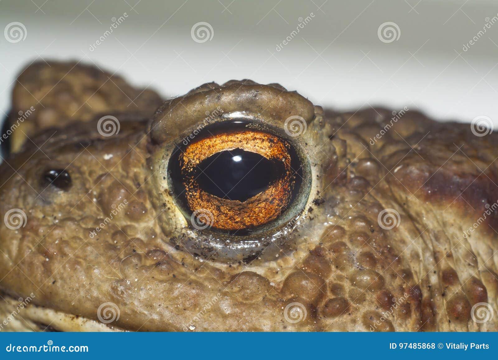 Occhio del rospo a terra