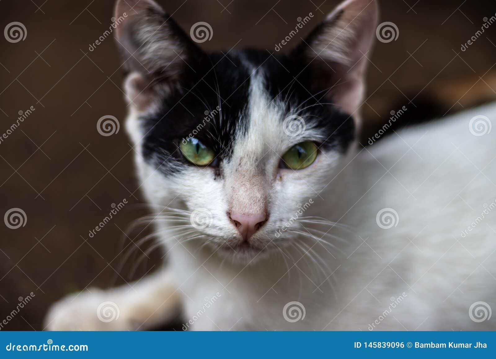 Occhio di gatto in bianco e nero