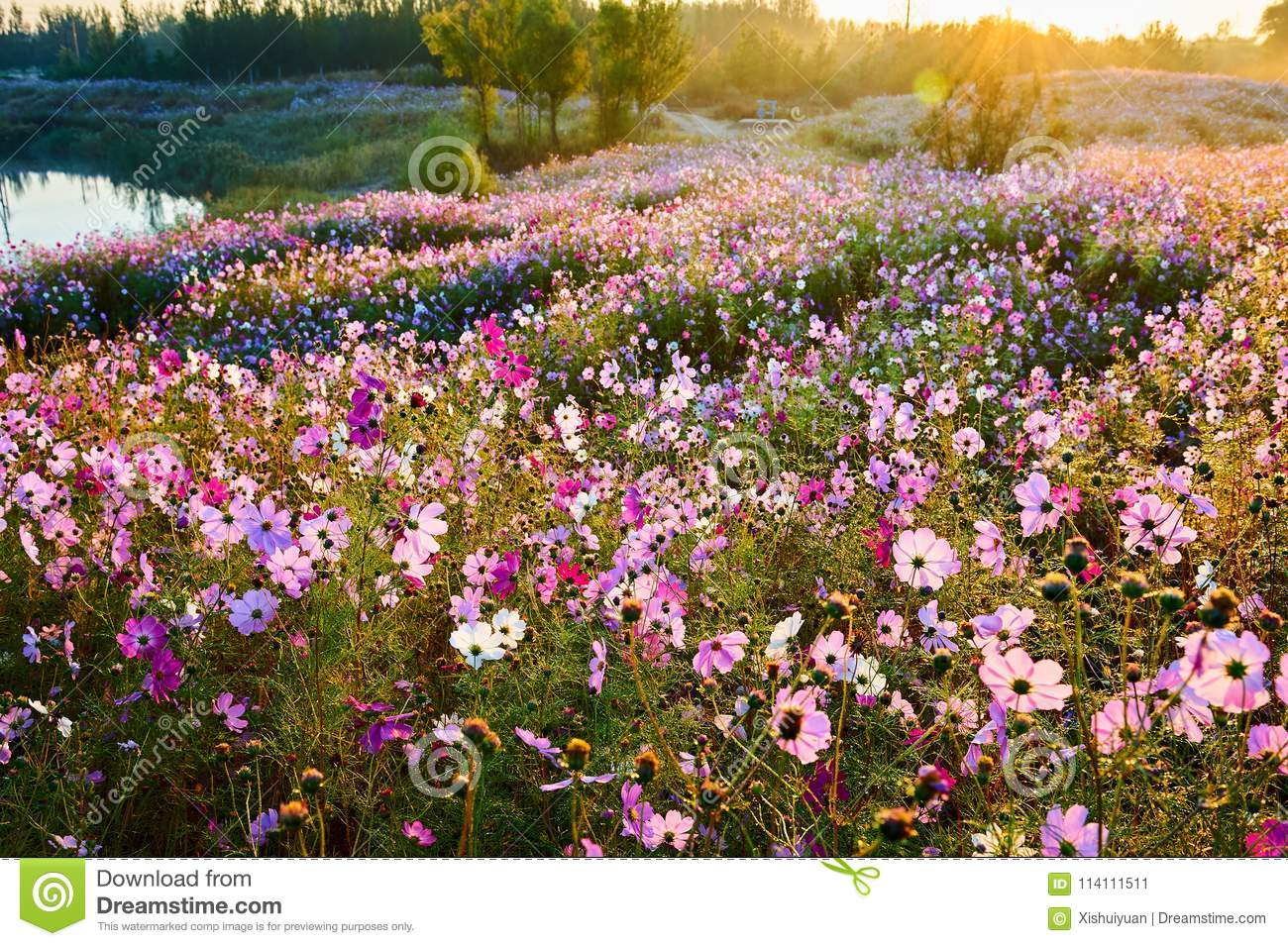 The Ocean Of Flowers Of Cosmos And Water Sunrise Stock Image - Image ...