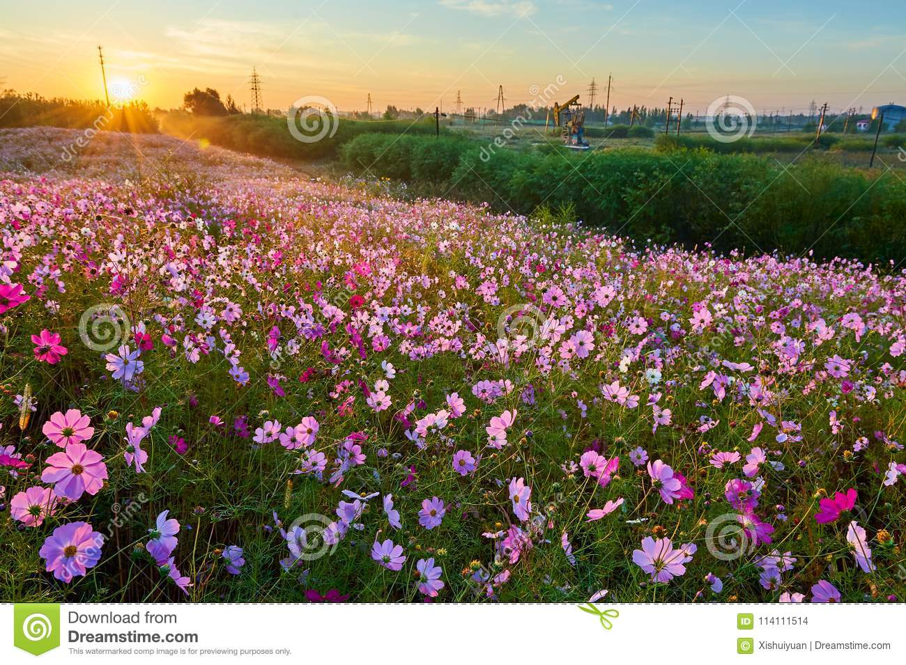 The Ocean Of Flowers Of Perennial Coreopsis Sunrise Stock Photo ...