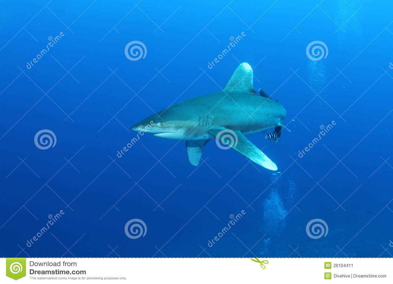 Oceanic White Tip shark (Carcharinus longimanus)