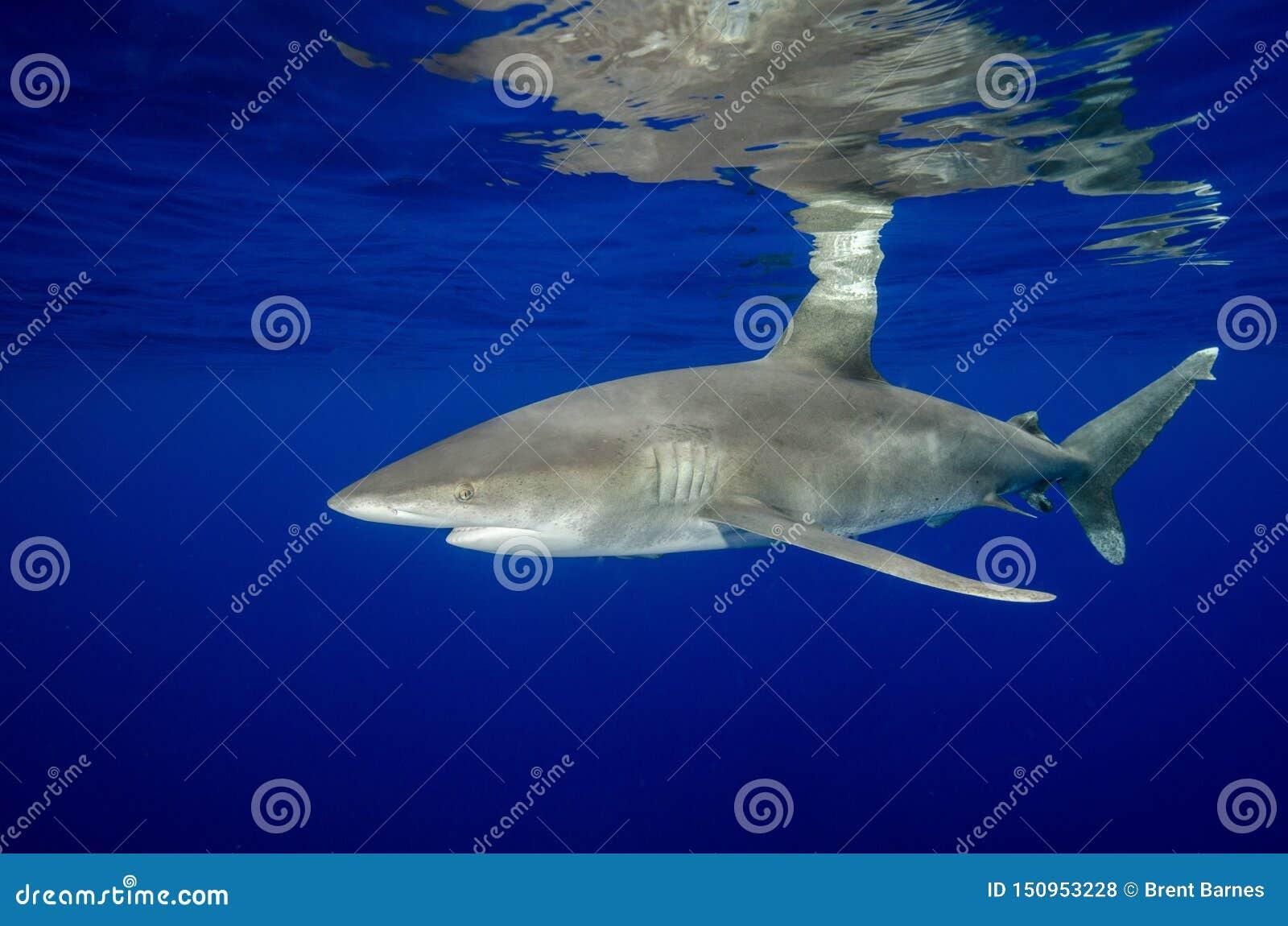 Oceaniczny Biały porada rekin i Swój odbicia w Bahamas