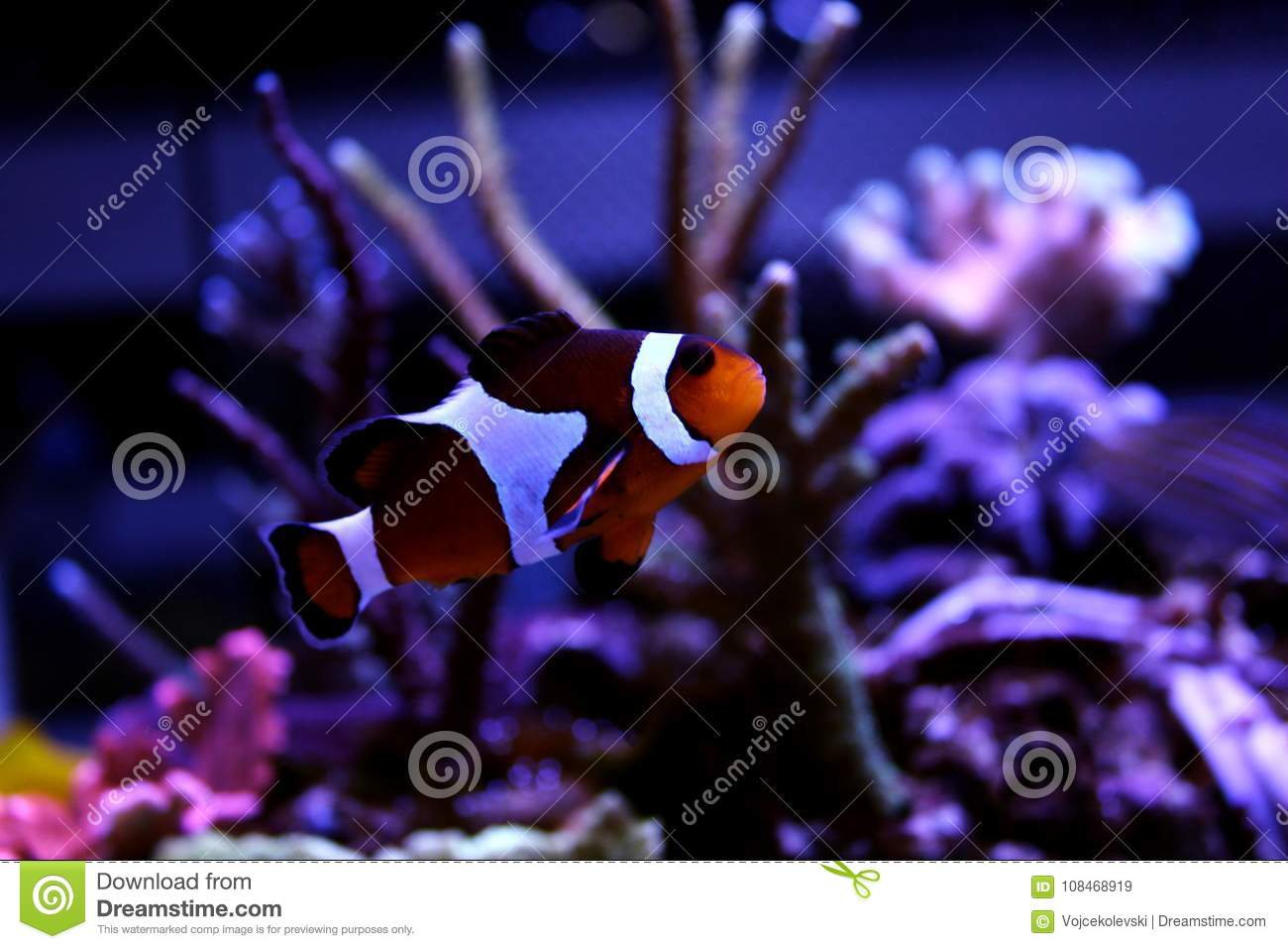 ocellaris clownfish amphiprion ocellaris stock image image of