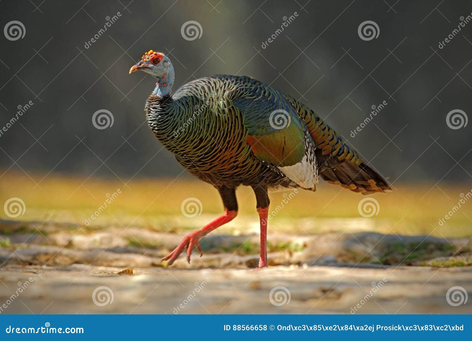 Nett Truthahn Zum Färben Fotos - Malvorlagen Von Tieren - ngadi.info