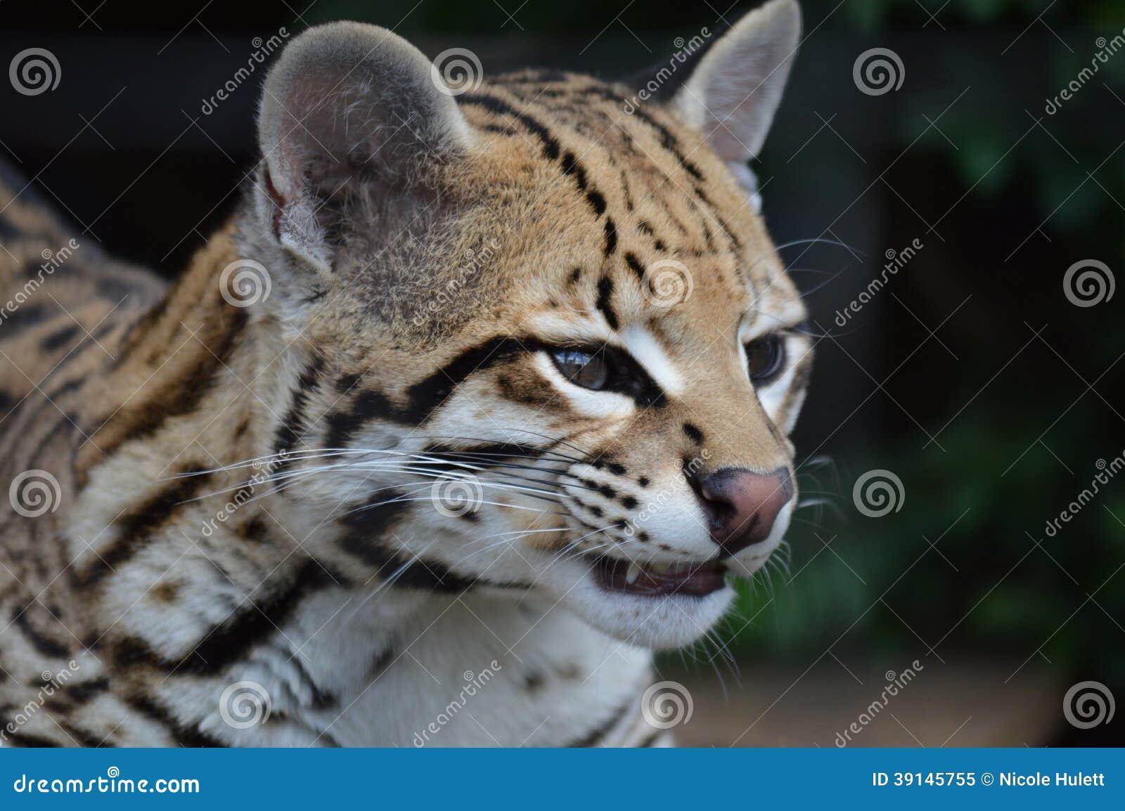 Ocelot Dziki Kot Obraz Stock Obraz Złożonej Z Lampasy 39145755