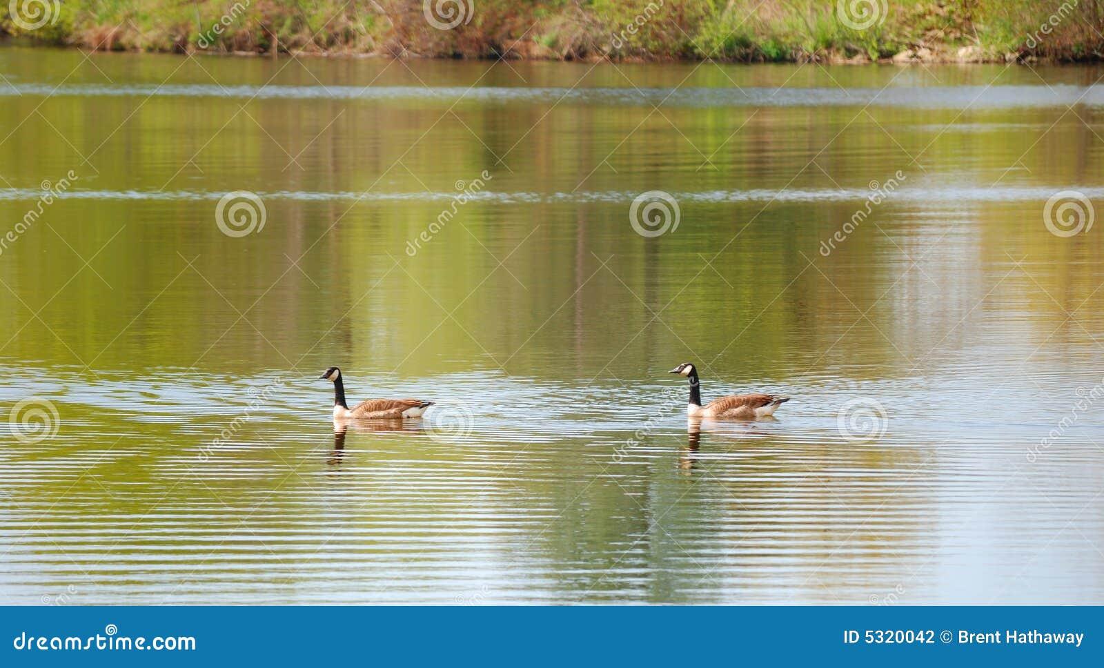 Download Oche canadesi fotografia stock. Immagine di galleggiante - 5320042