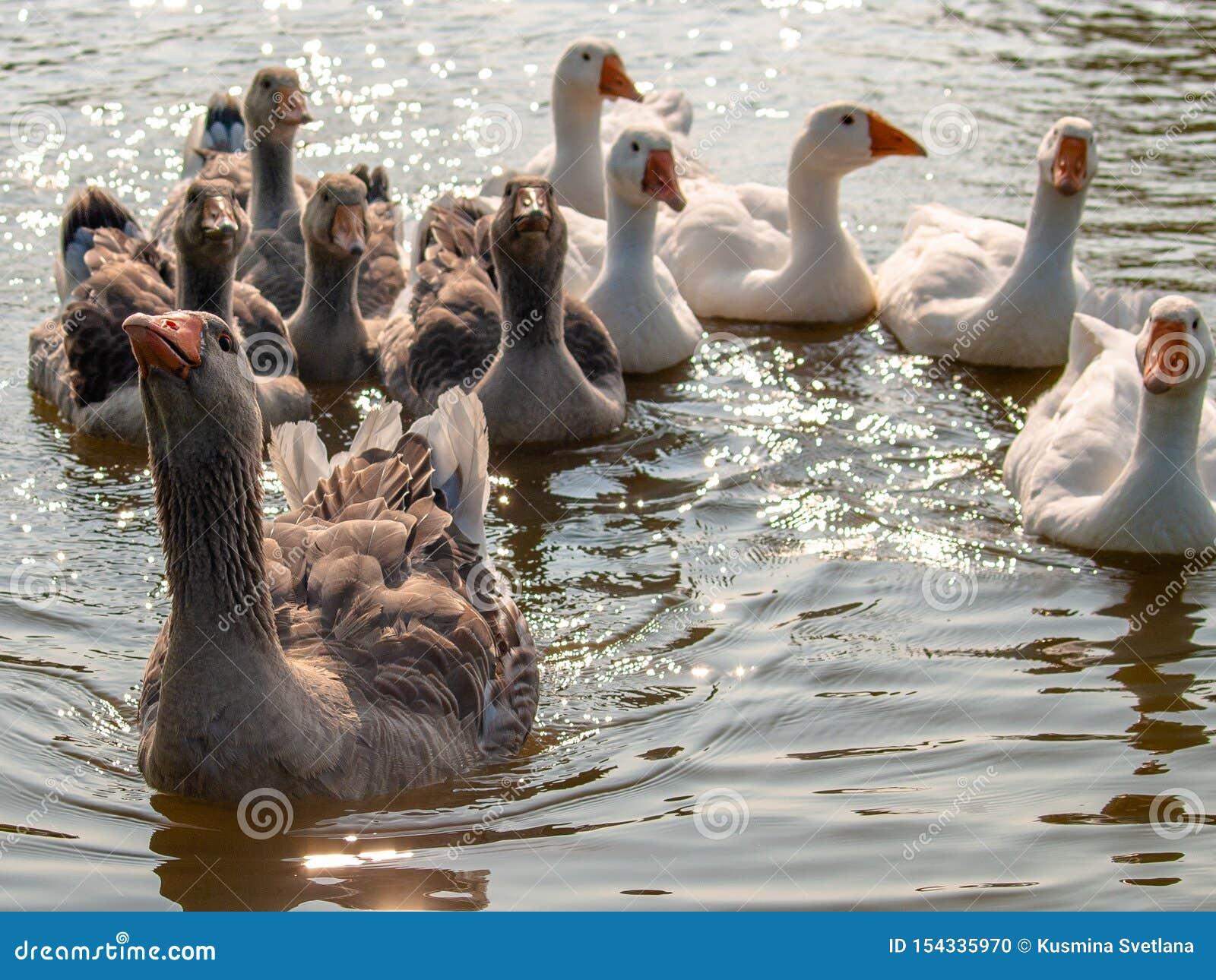 Oche domestiche che galleggiano sull acqua dello stagno, illuminata dal sole