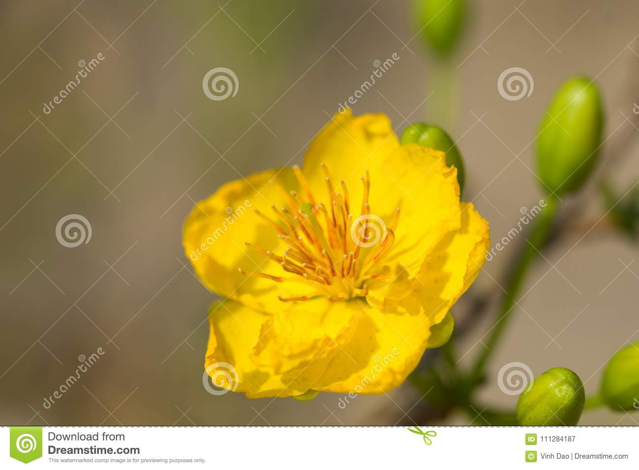 Ochna integerrima the symbol of vietnamese lunar new year in south ochna integerrima the symbol of vietnamese lunar new year in south the golden yellow of the flower means the noble roots of vietnamese mightylinksfo