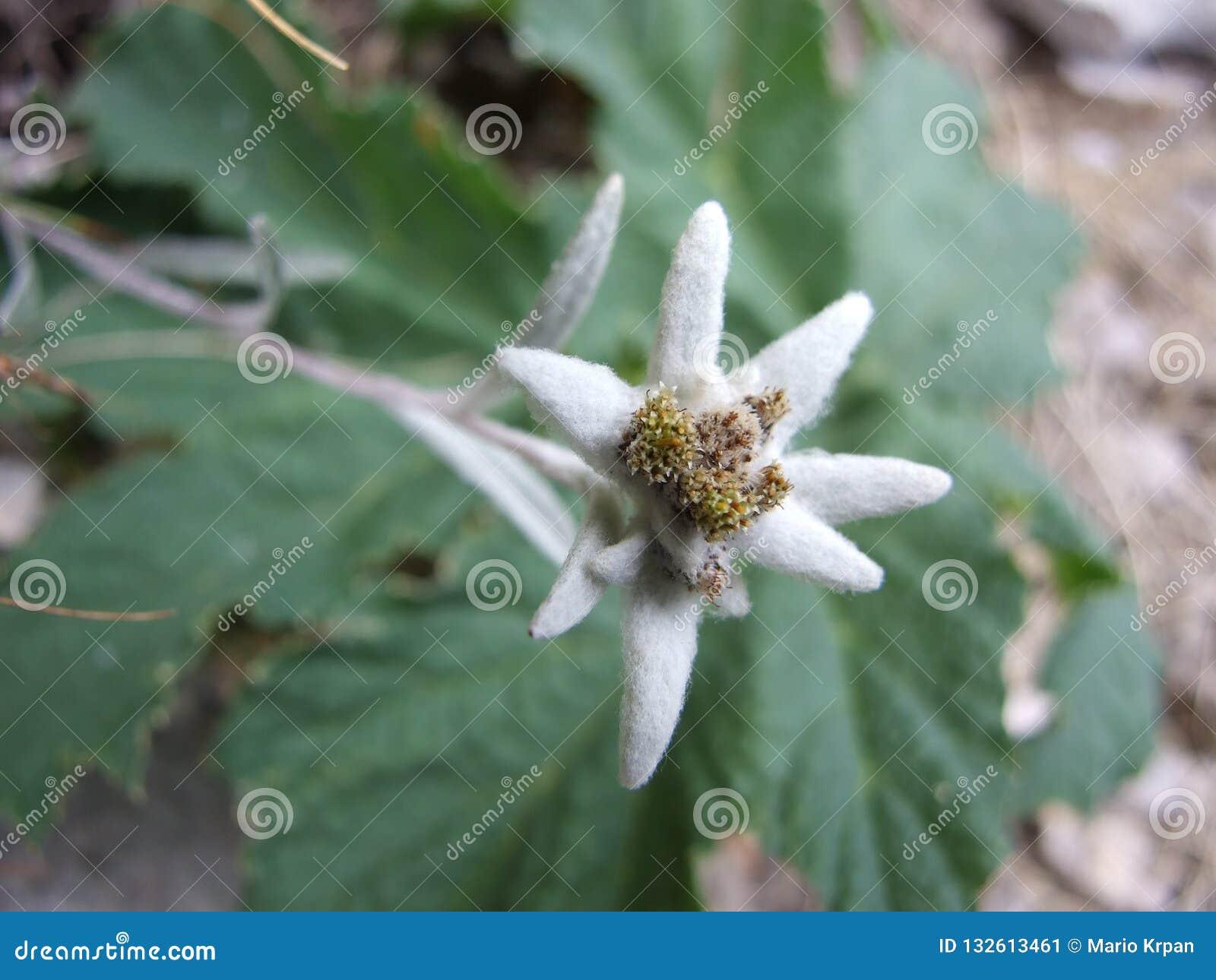 Ochraniający halny kwiat
