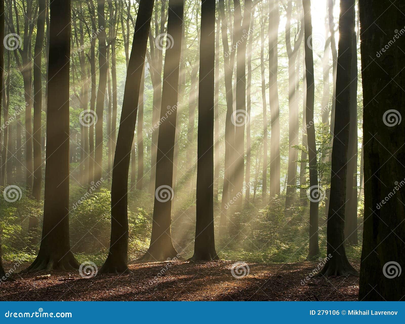 Ochtend in het nevelige bos