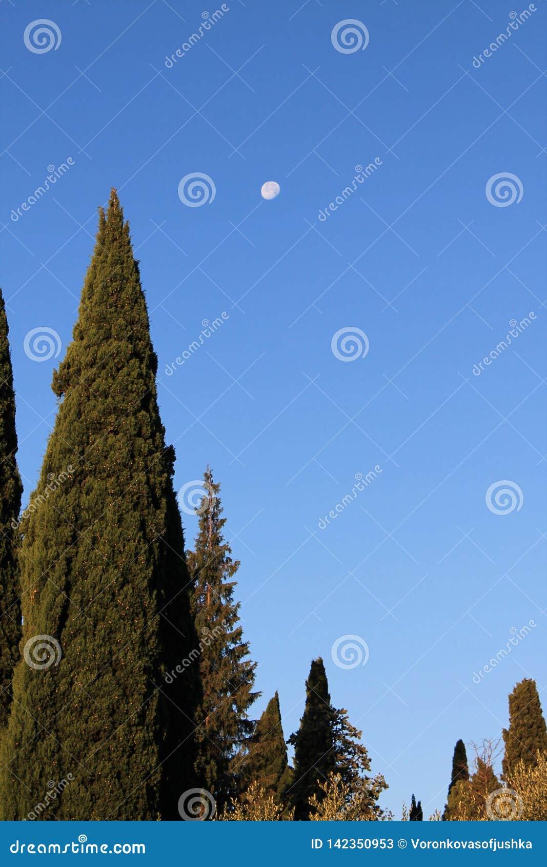 Ochtendmaan in de blauwe hemel tegen de achtergrond van hoge cipressen