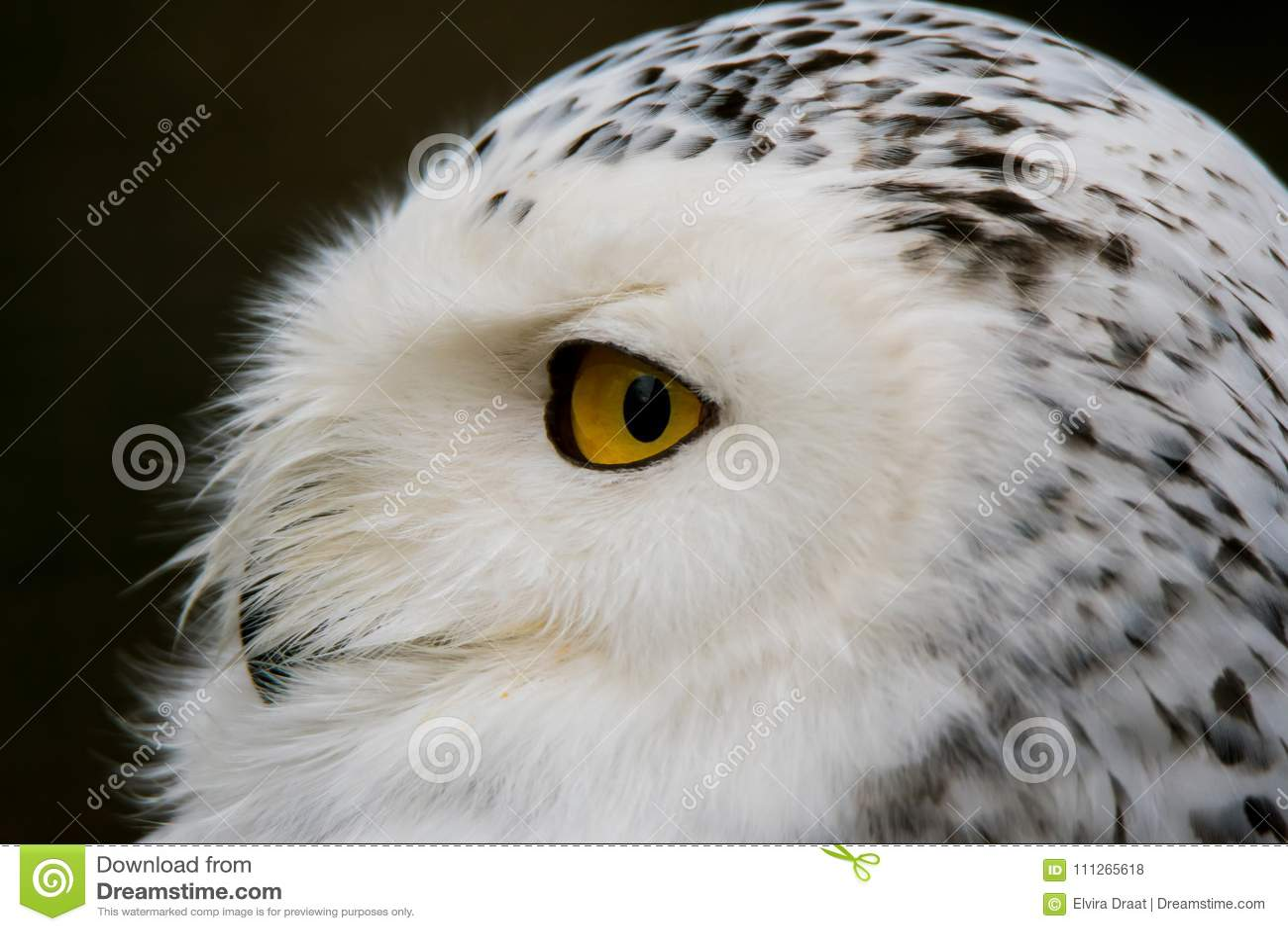 Också vet arktisken som stor harfang för fågel snöig white för stort owlståenderov