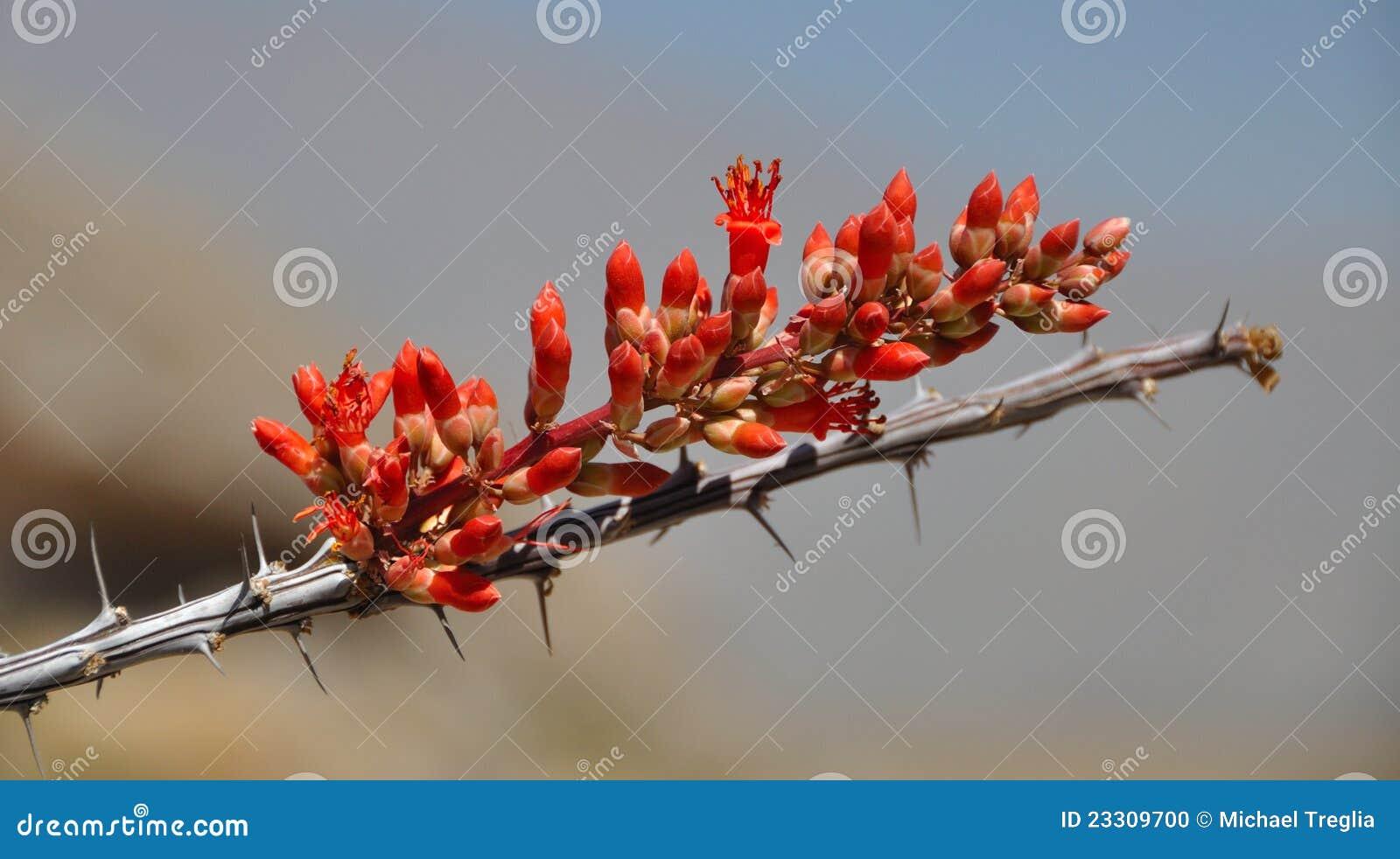 Ocotillo Flower in Bloom