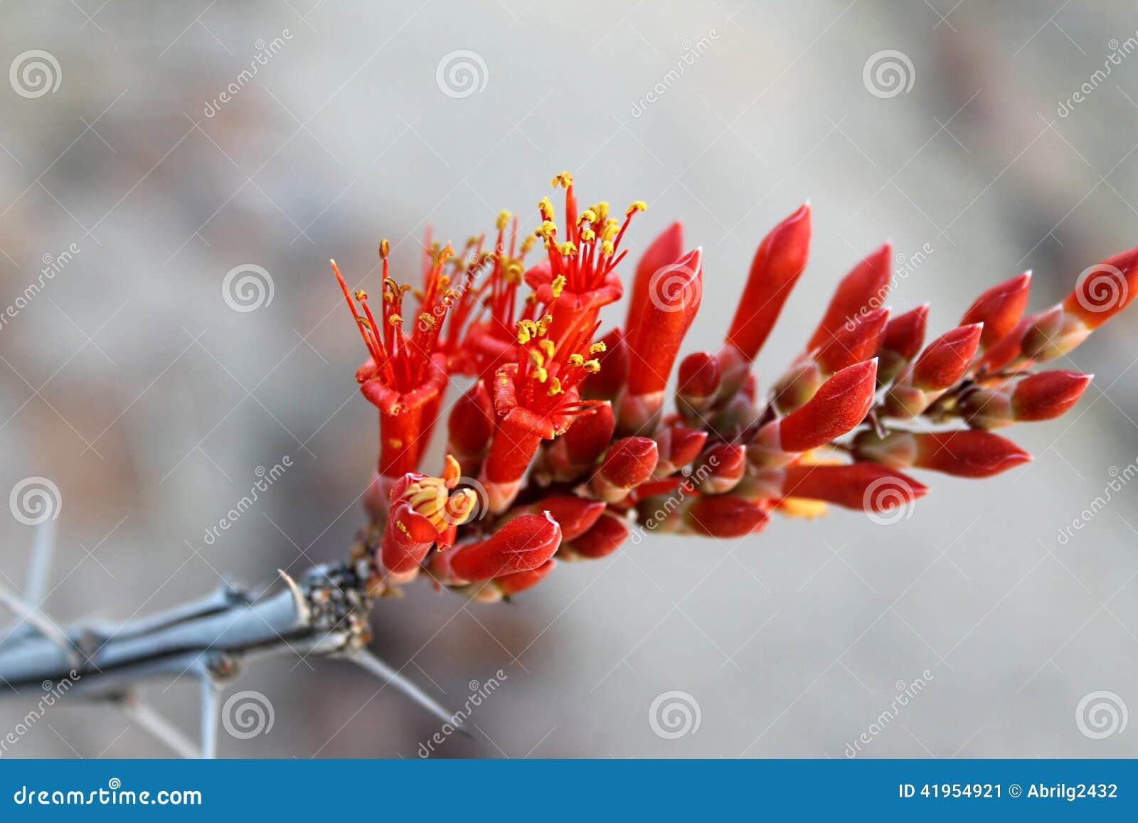 Ocotillo karmazynów kwiat