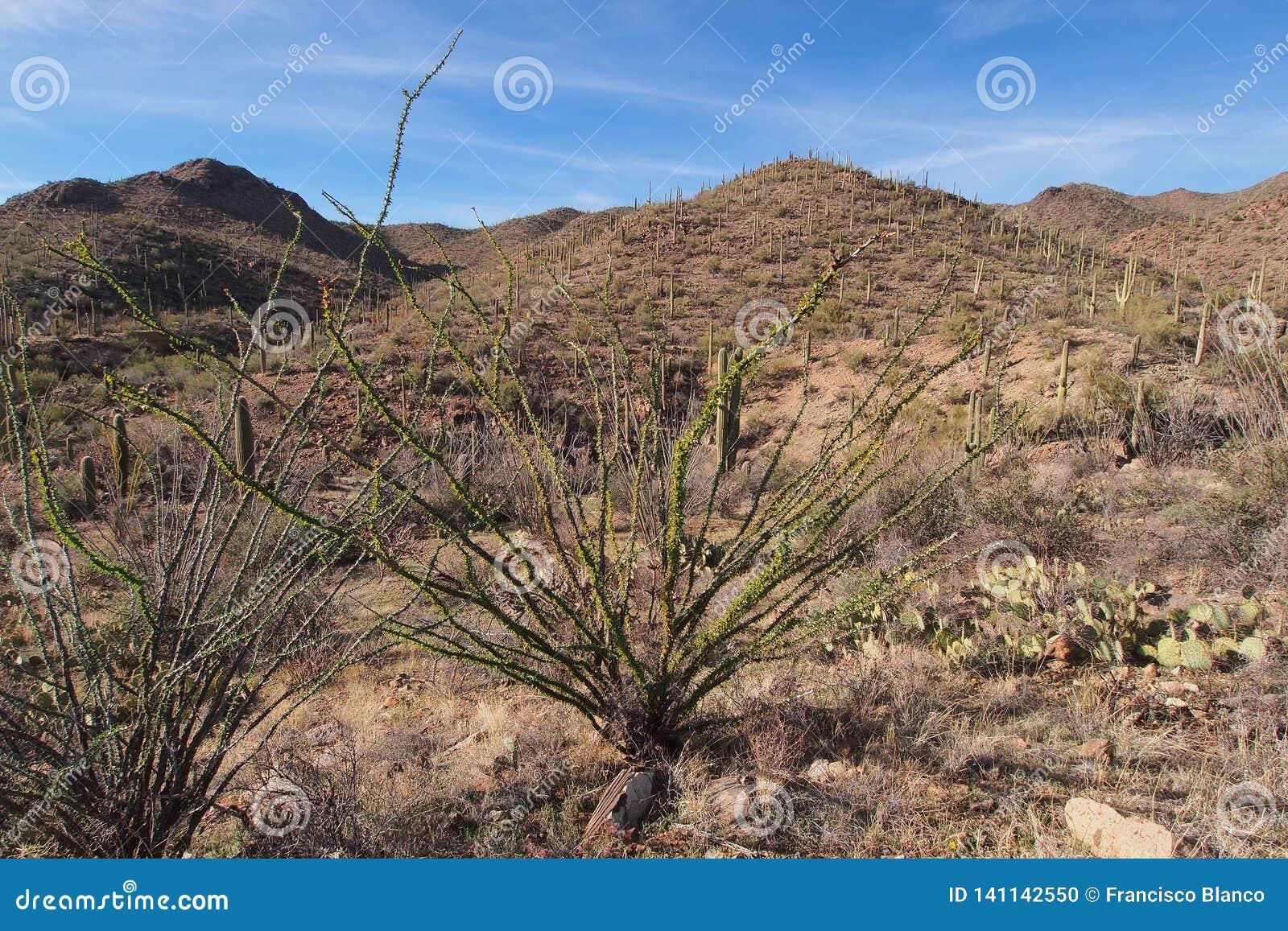 Ocotillo, splendens del Fouquieria, y clasificado otros cactus en parque nacional de Saguaro