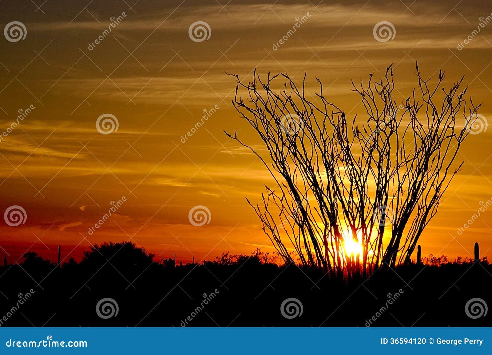 Ocotillo at sundown