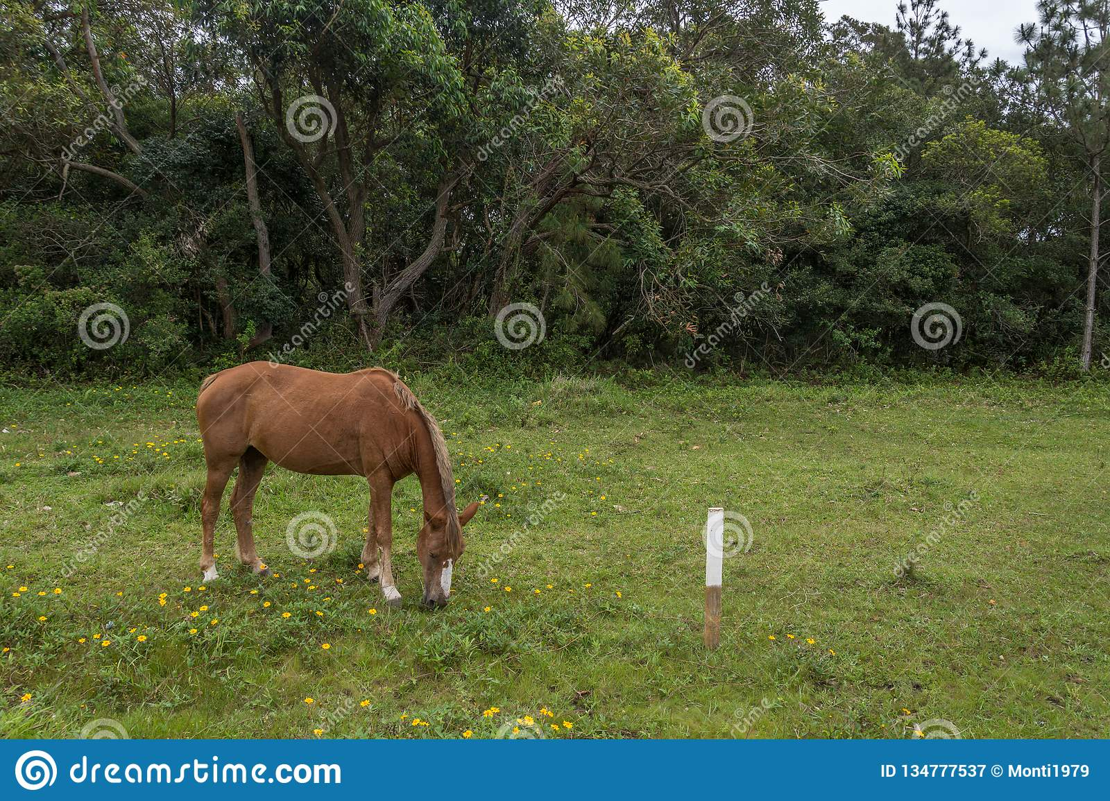 Borwn horse grazing on a grass field with small yellow flowers, in the Campeche, Florianopolis, Brazil