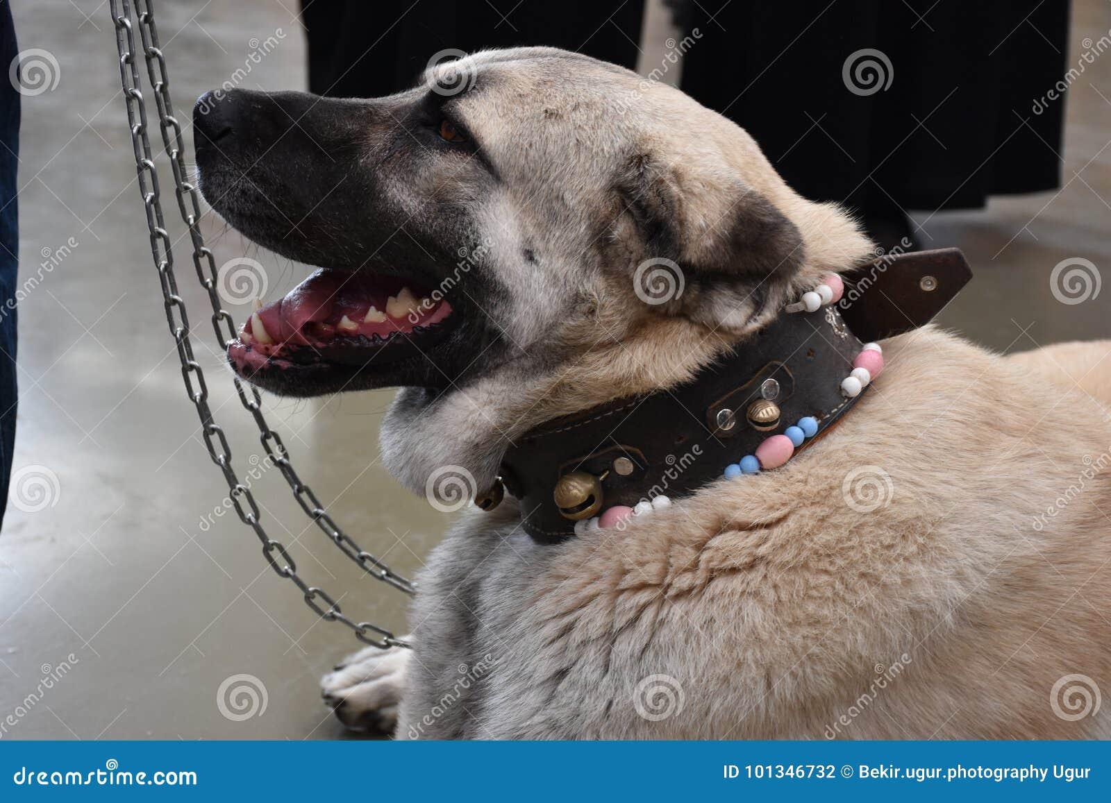 The Sivas Kangal Dog Anatolian Shepherd Dog Turkey