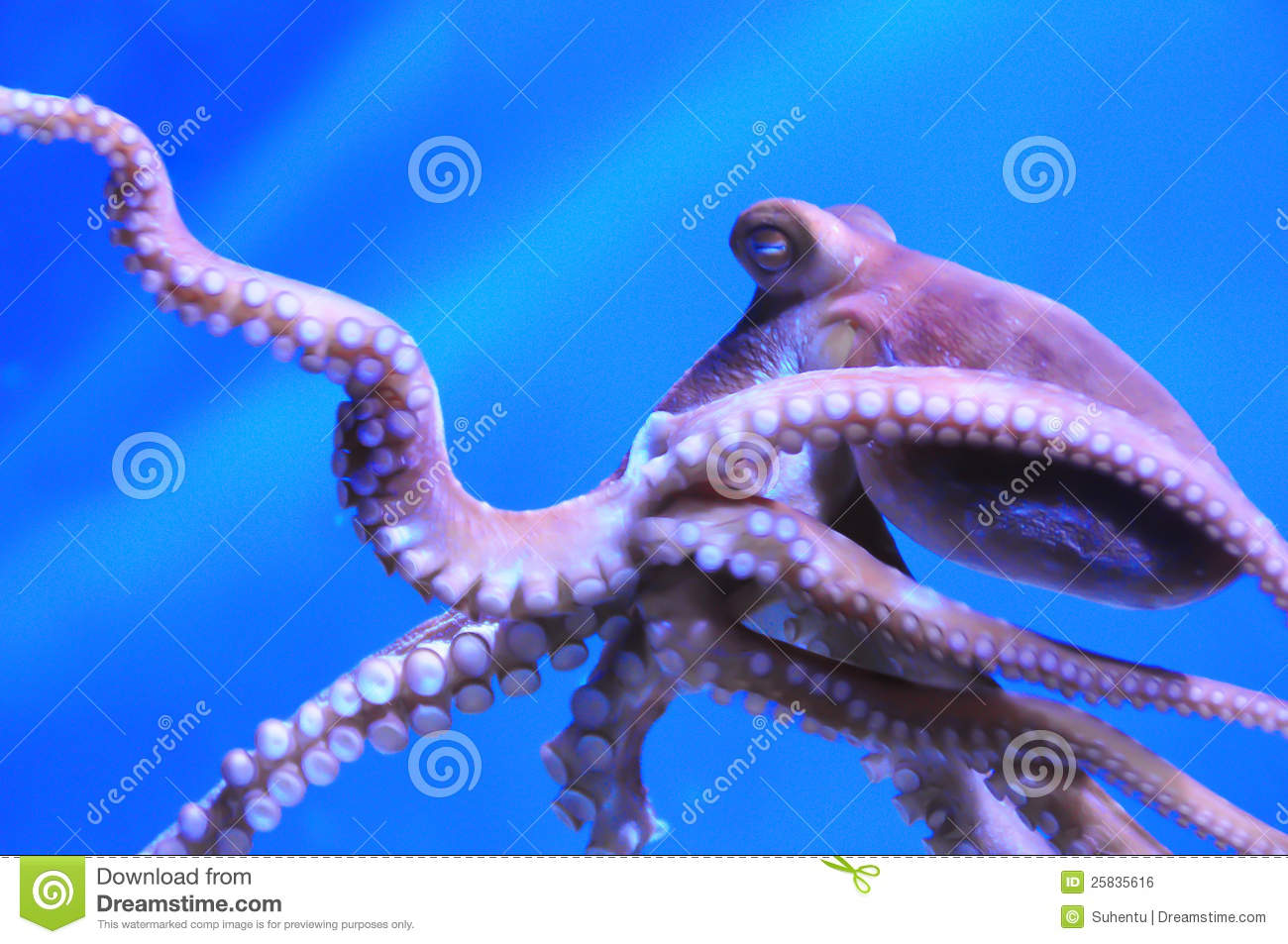 The Octopus Royalty Free Stock Image - Image: 25835616