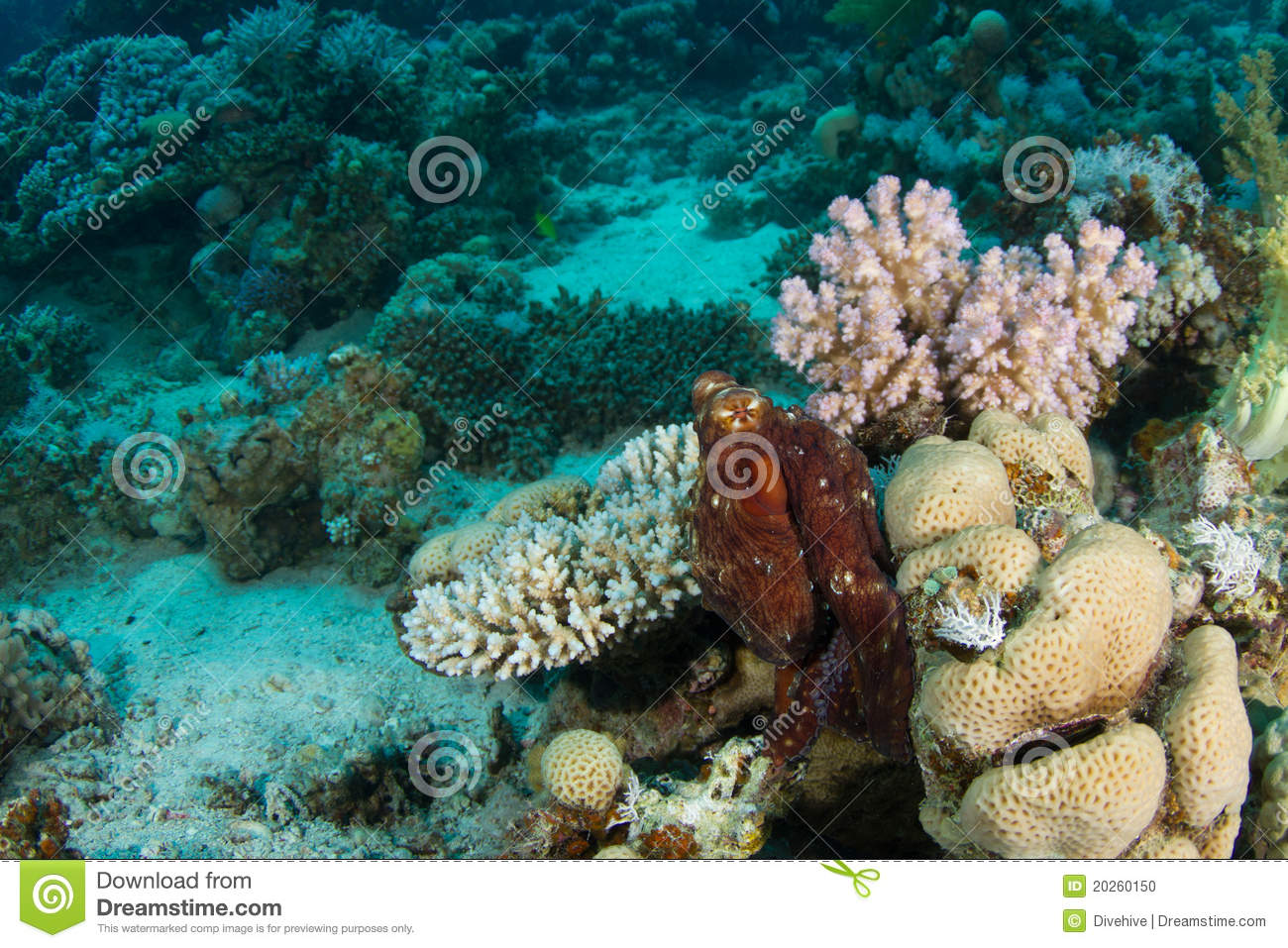 Octopus In Coral Reef Stock Photo - Image: 20260150