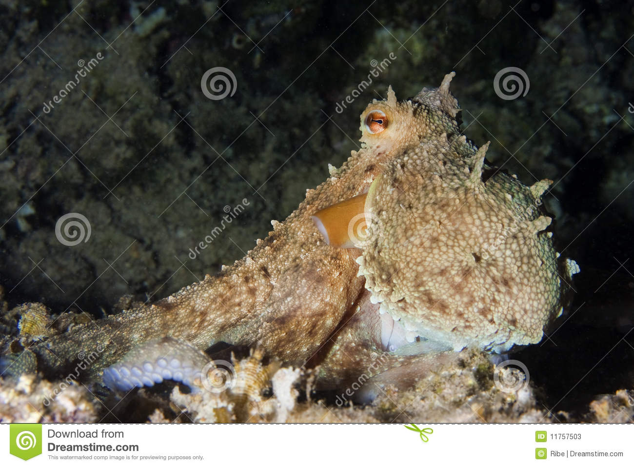 common octopus   octopus vulgaris   in an underwater night shot Underwater Octopus