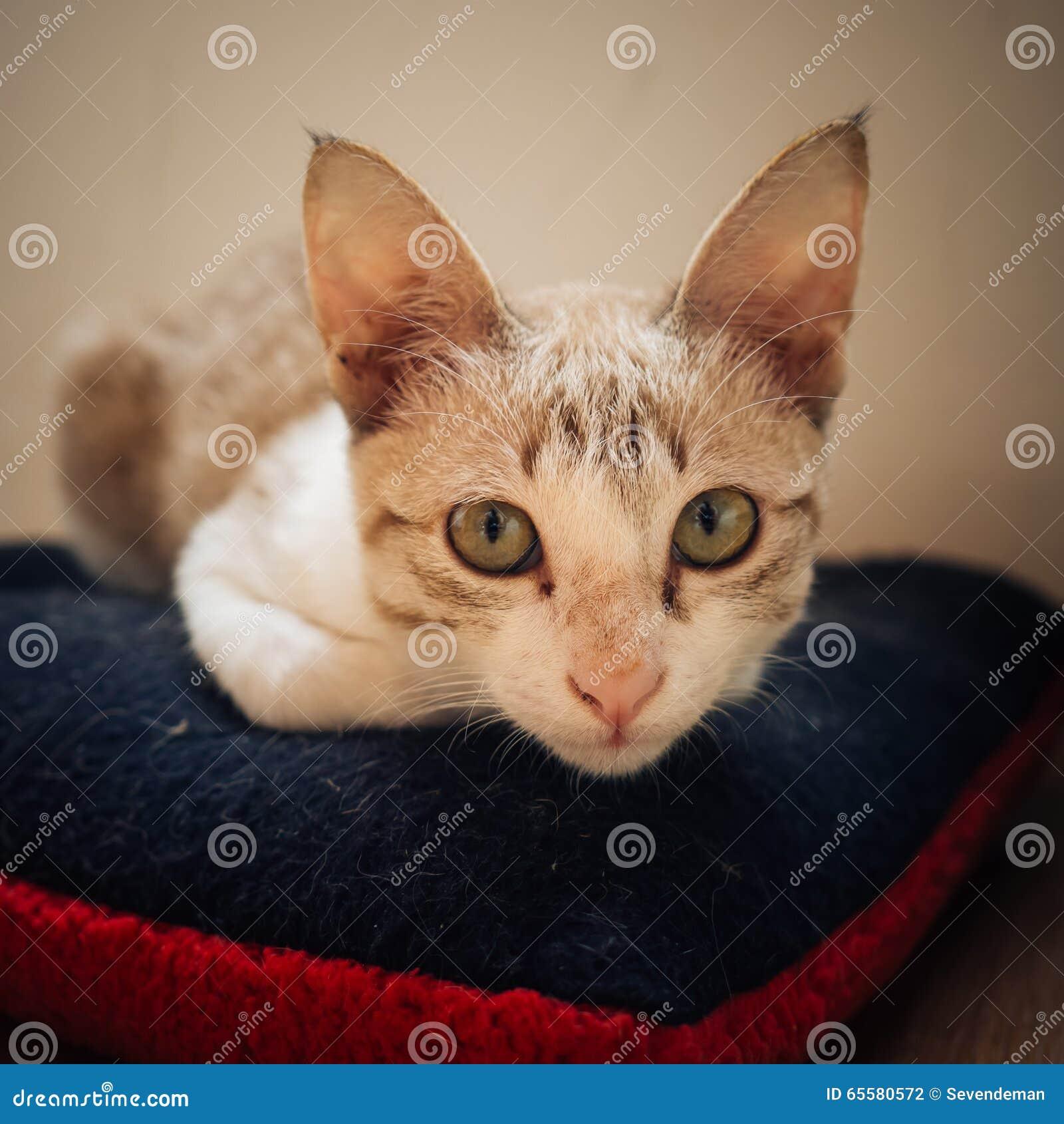 Ocupa do gato no descanso