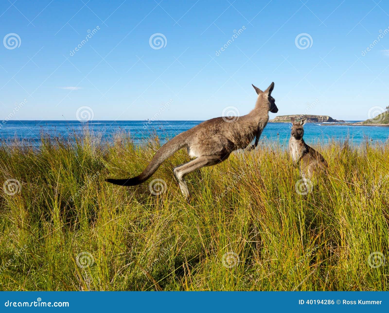 Odbijać się kangura na australijskiej plaży
