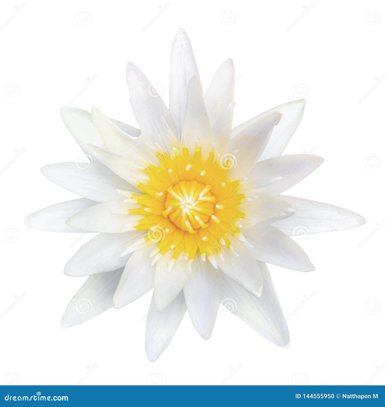 Odgórnego widoku biały lotos odizolowywający na białym tle