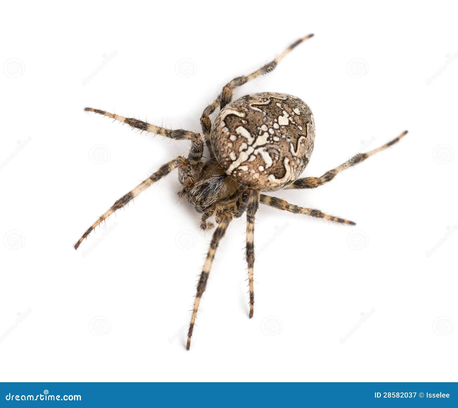 Odgórny widok Europejski ogrodowy pająk
