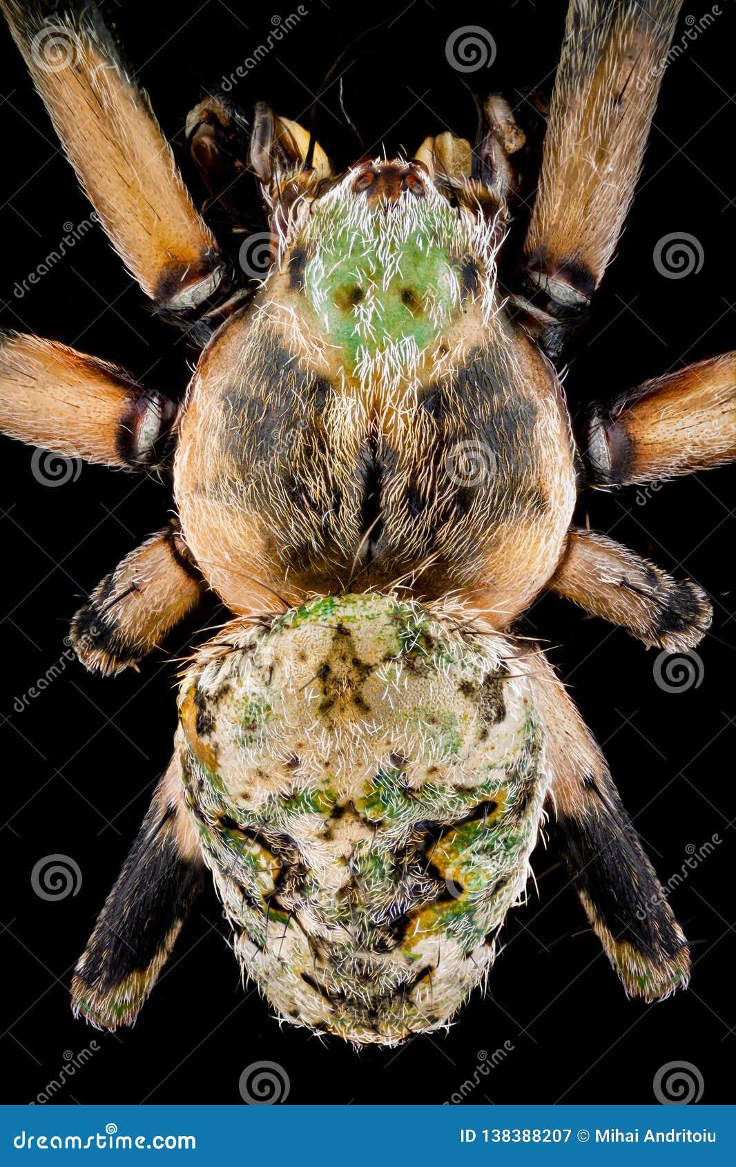 Odgórny widok orbweaver pająk