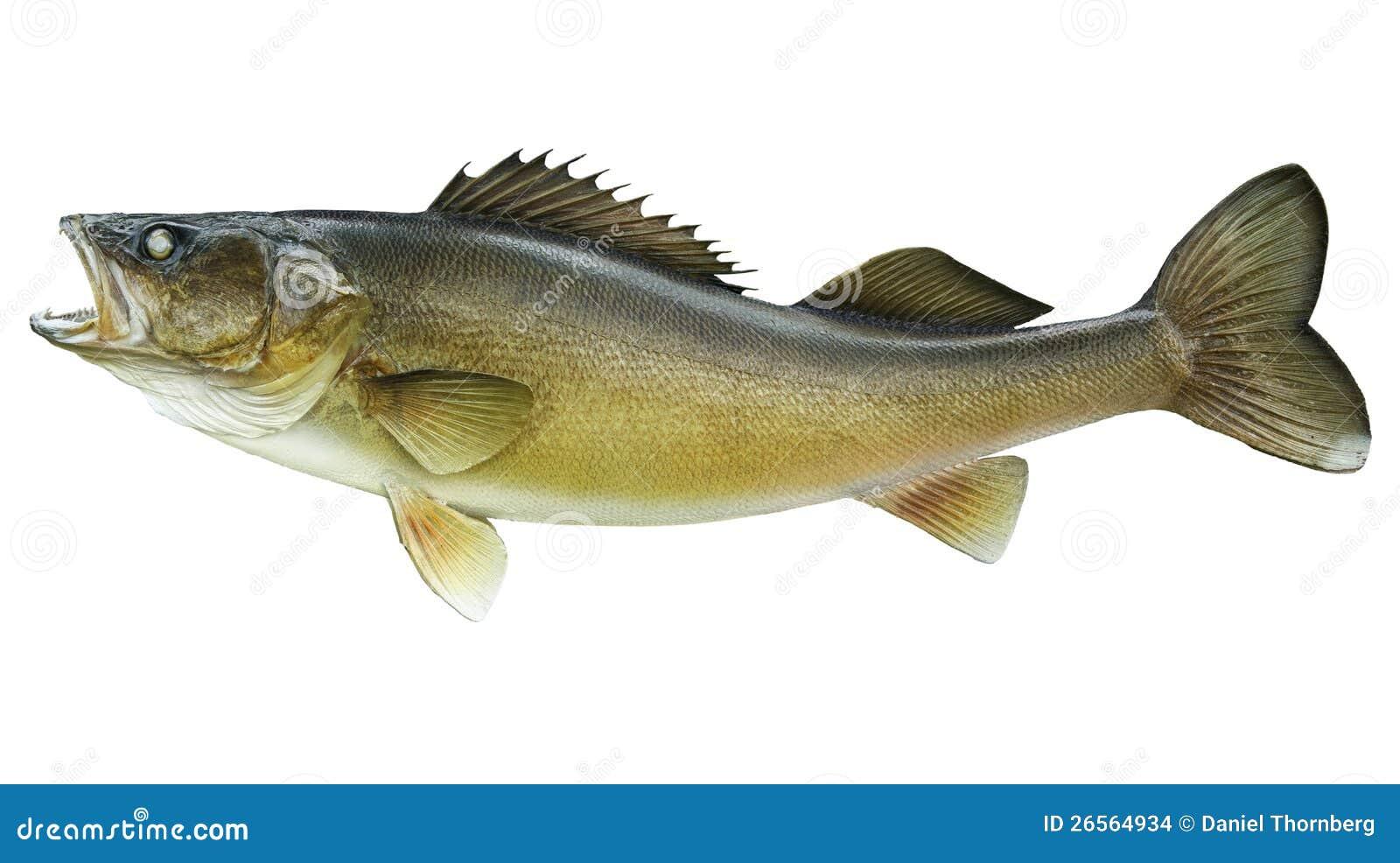 Odizolowywający na biel duży walleye