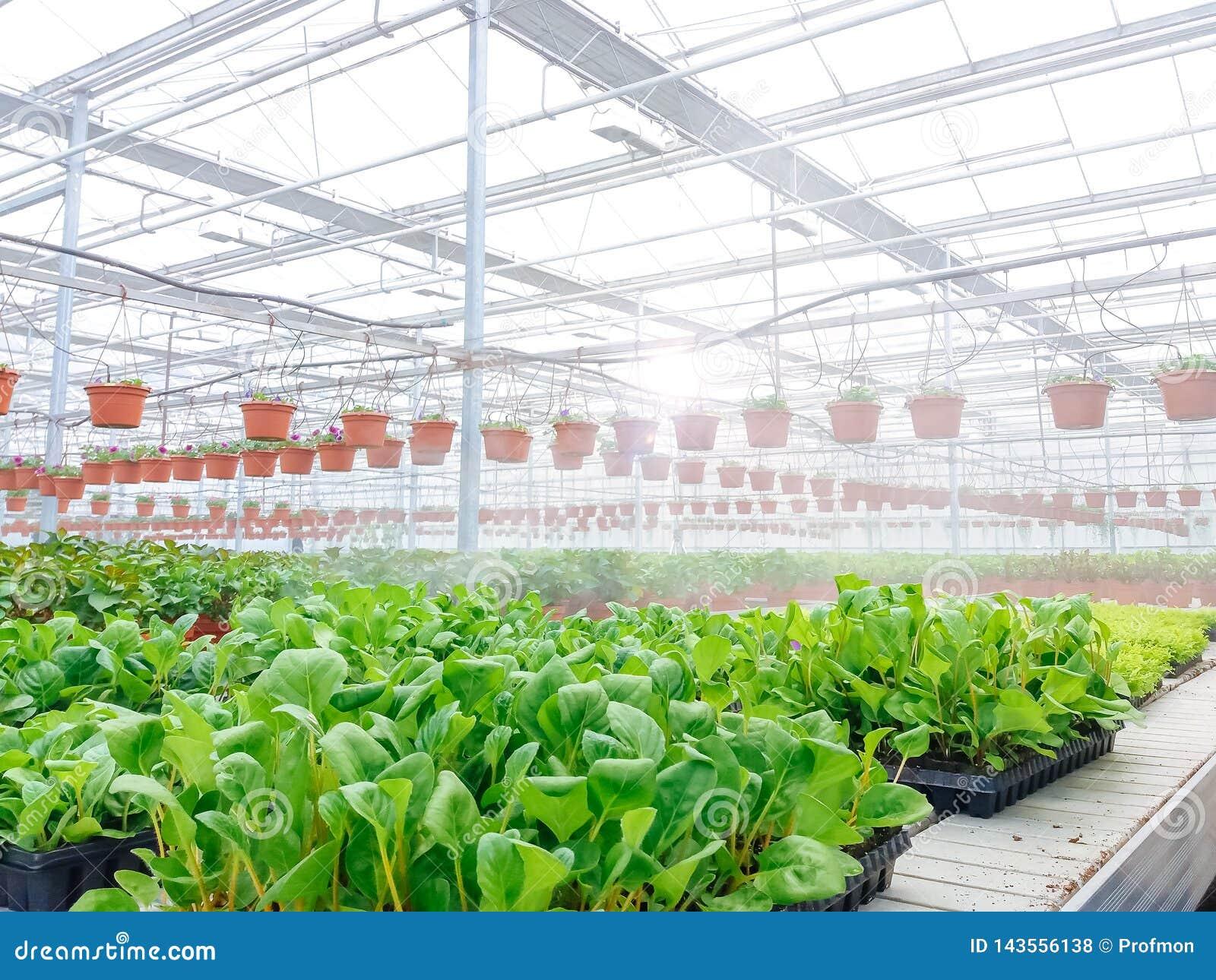 Odlat dekorativt växa för blommor i en kommersiell plactic folie täckte trädgårdsnäringväxthuset