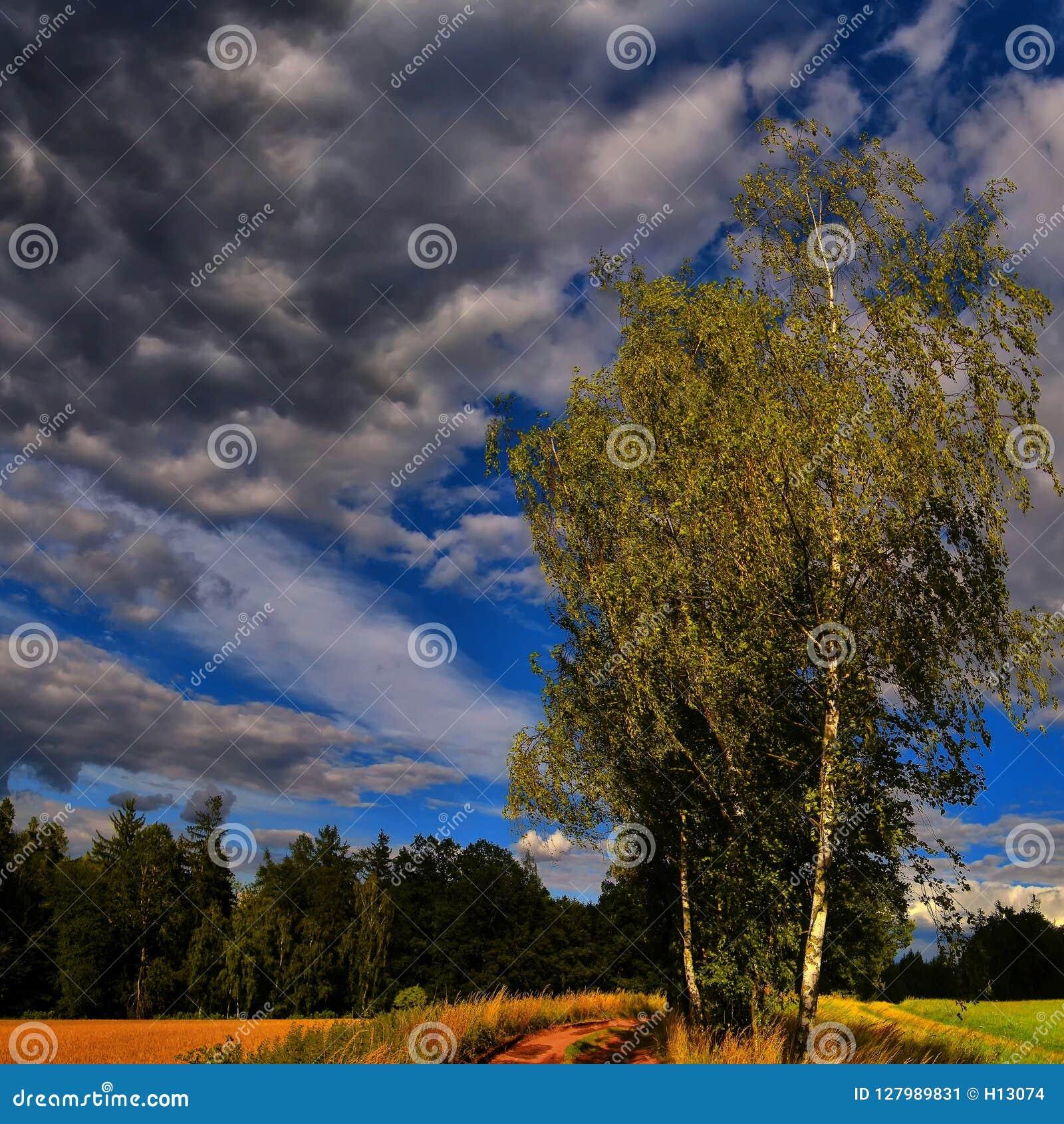 Odludny brzozy treee obok zmielonej drogi przy lata światłem dziennym